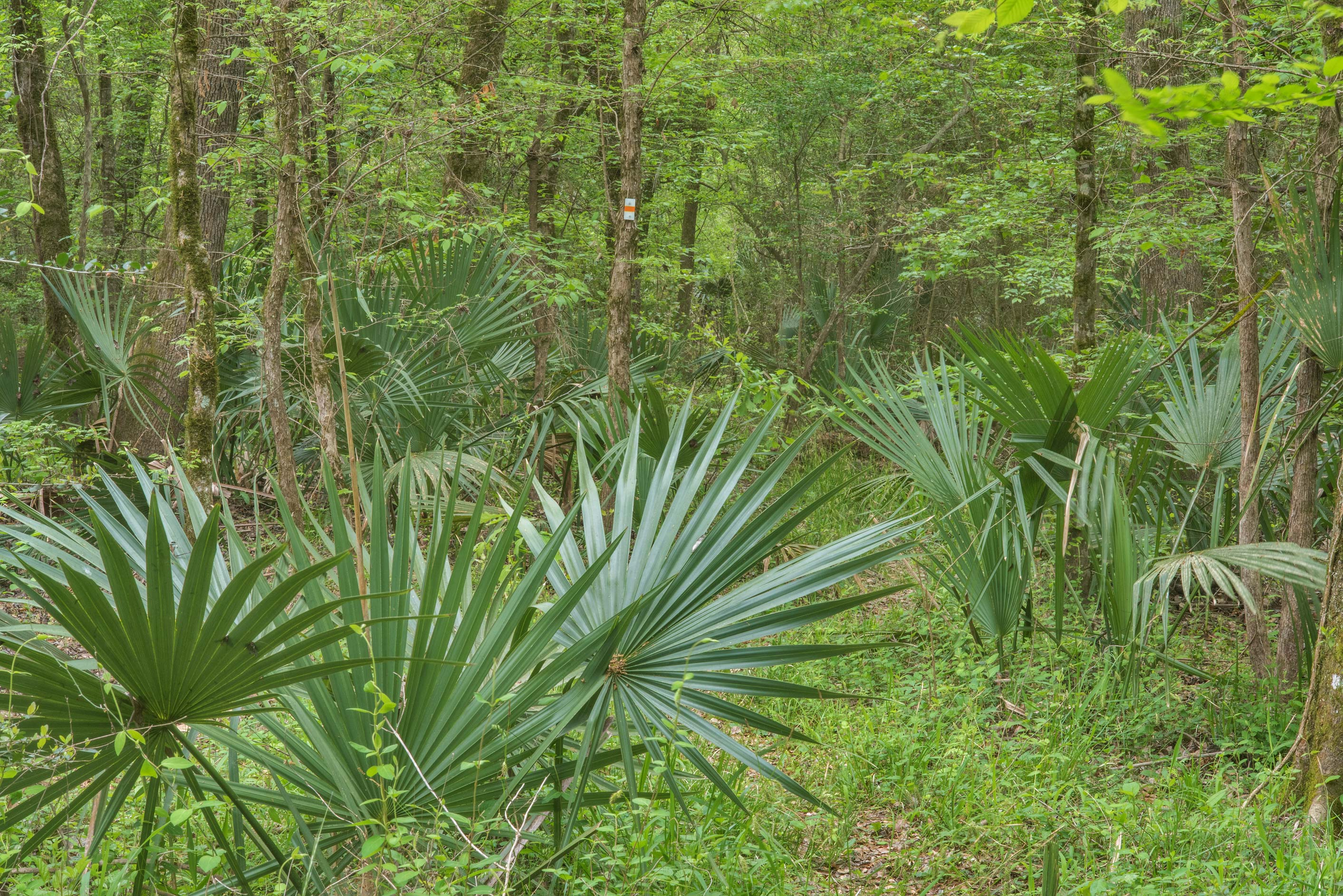 Palmetto leaves on Caney Creek section of Lone...National Forest near Huntsville, Texas