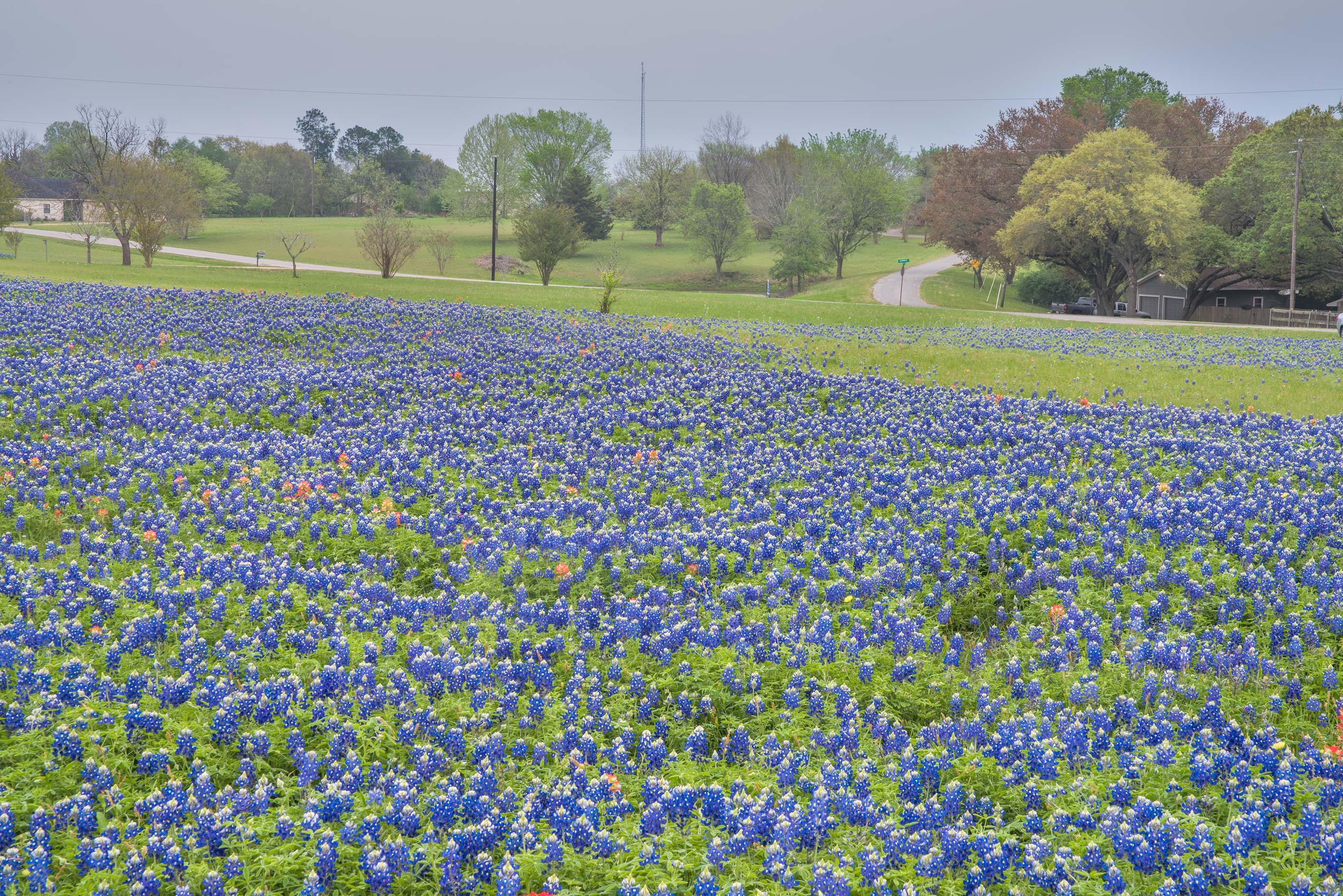 Field of bluebonnet flowers north from Chappell Hill. Texas