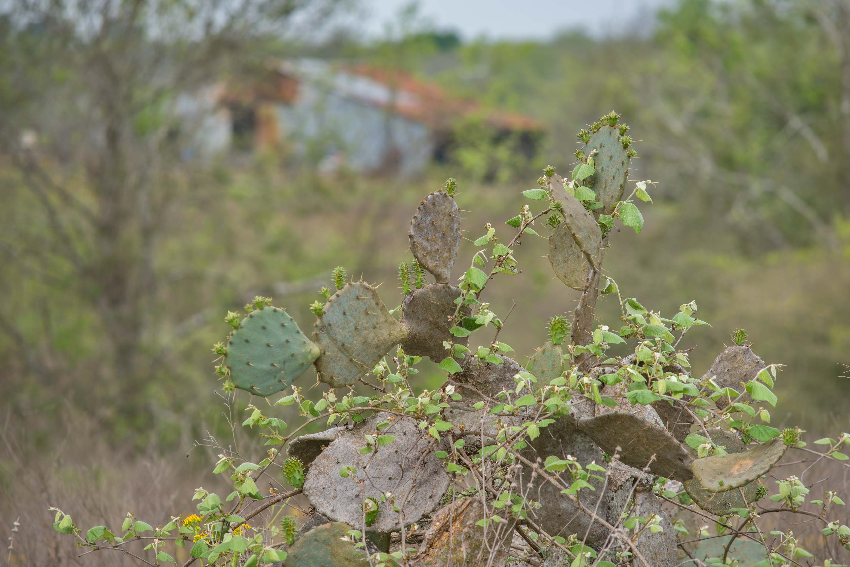 Pads of prickly peas cactus (Opuntia) in...State Historic Site. Washington, Texas