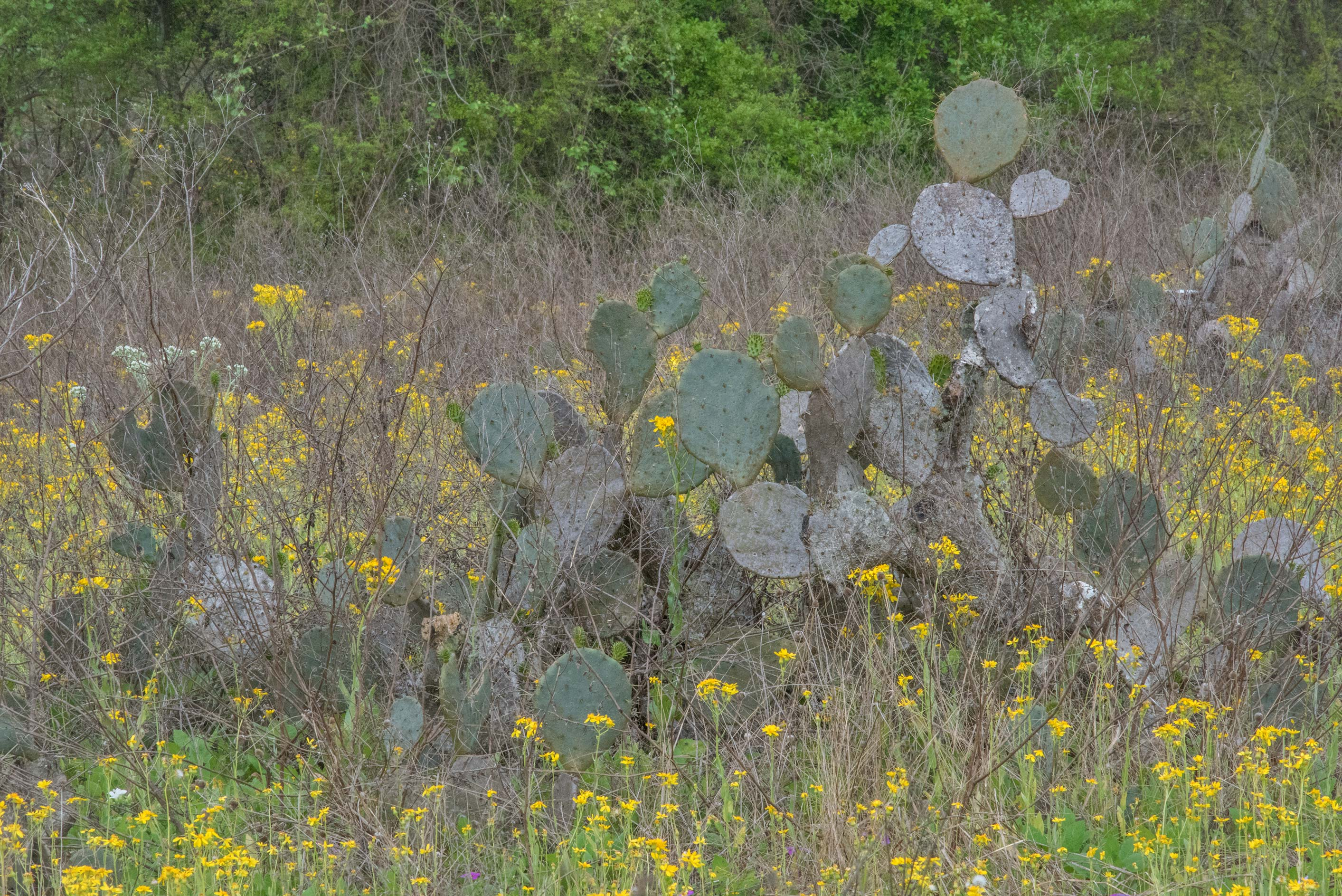 Prickly peas cactus (Opuntia) with yellow Senecio...State Historic Site. Washington, Texas