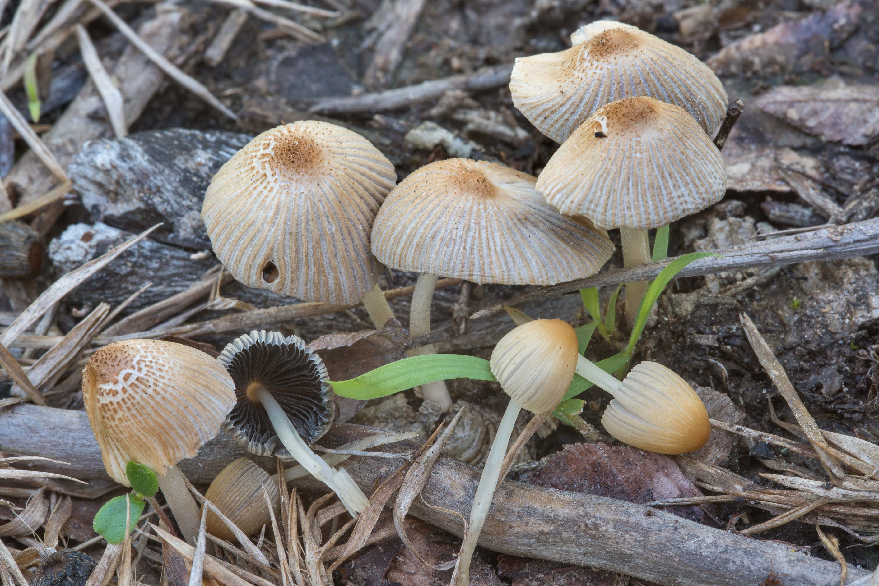 Pleated inkcap mushrooms (Parasola plicatilis...Creek Park. College Station, Texas