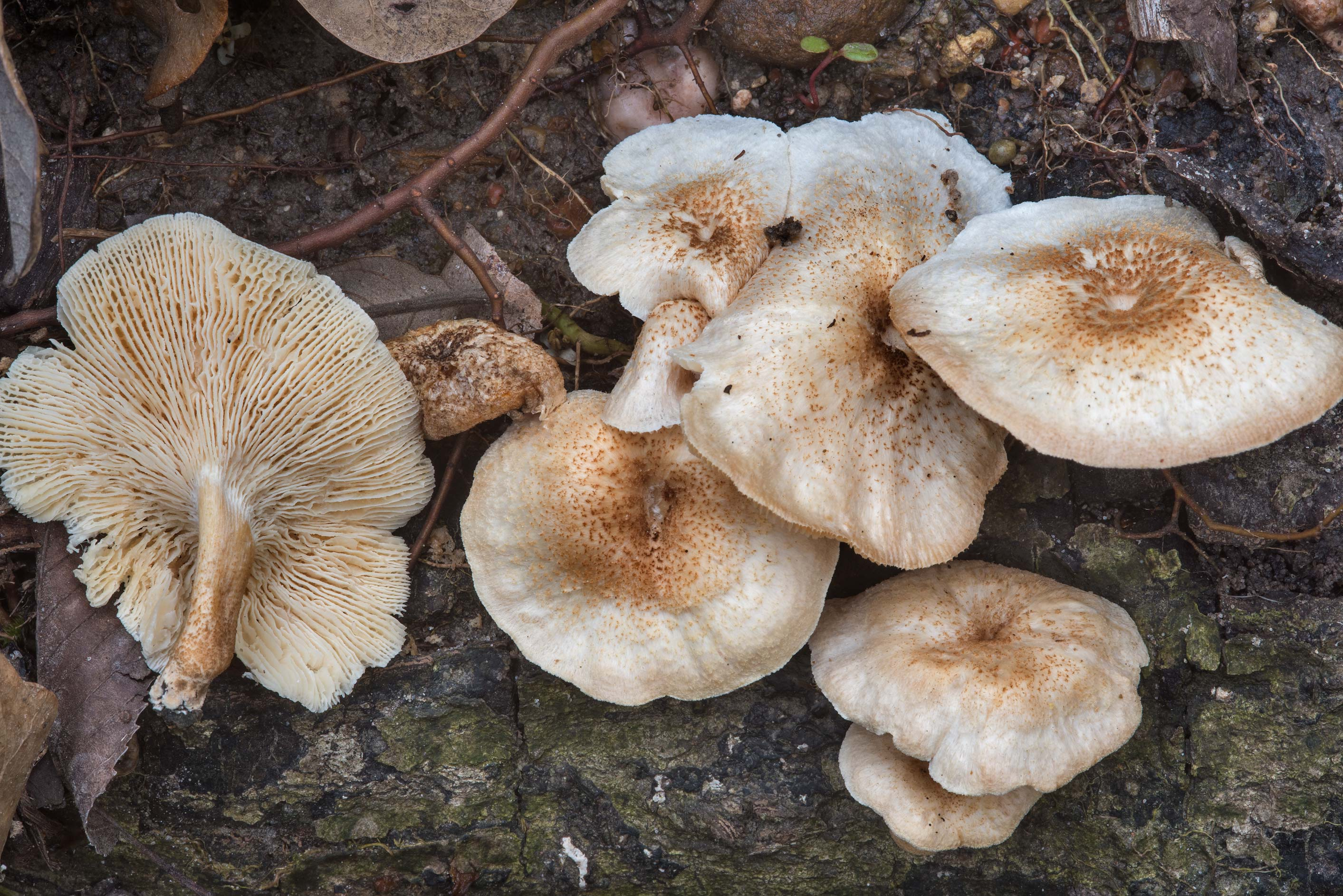 Tiger sawgill mushrooms (Lentinus tigrinus) on a...Nature Trail. College Station, Texas