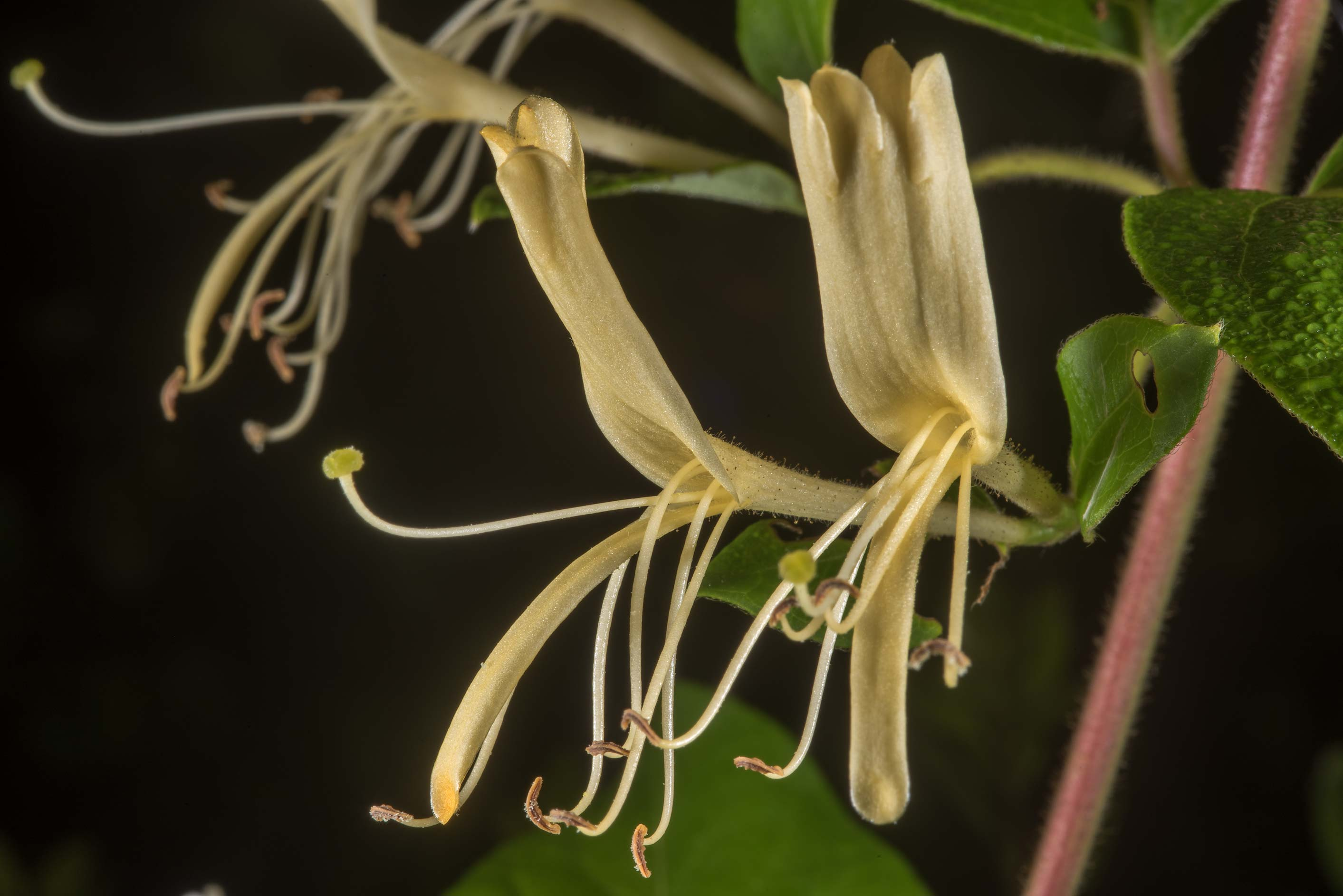 Japanese honeysuckle (Lonicera japonica) in Lick Creek Park. College Station, Texas