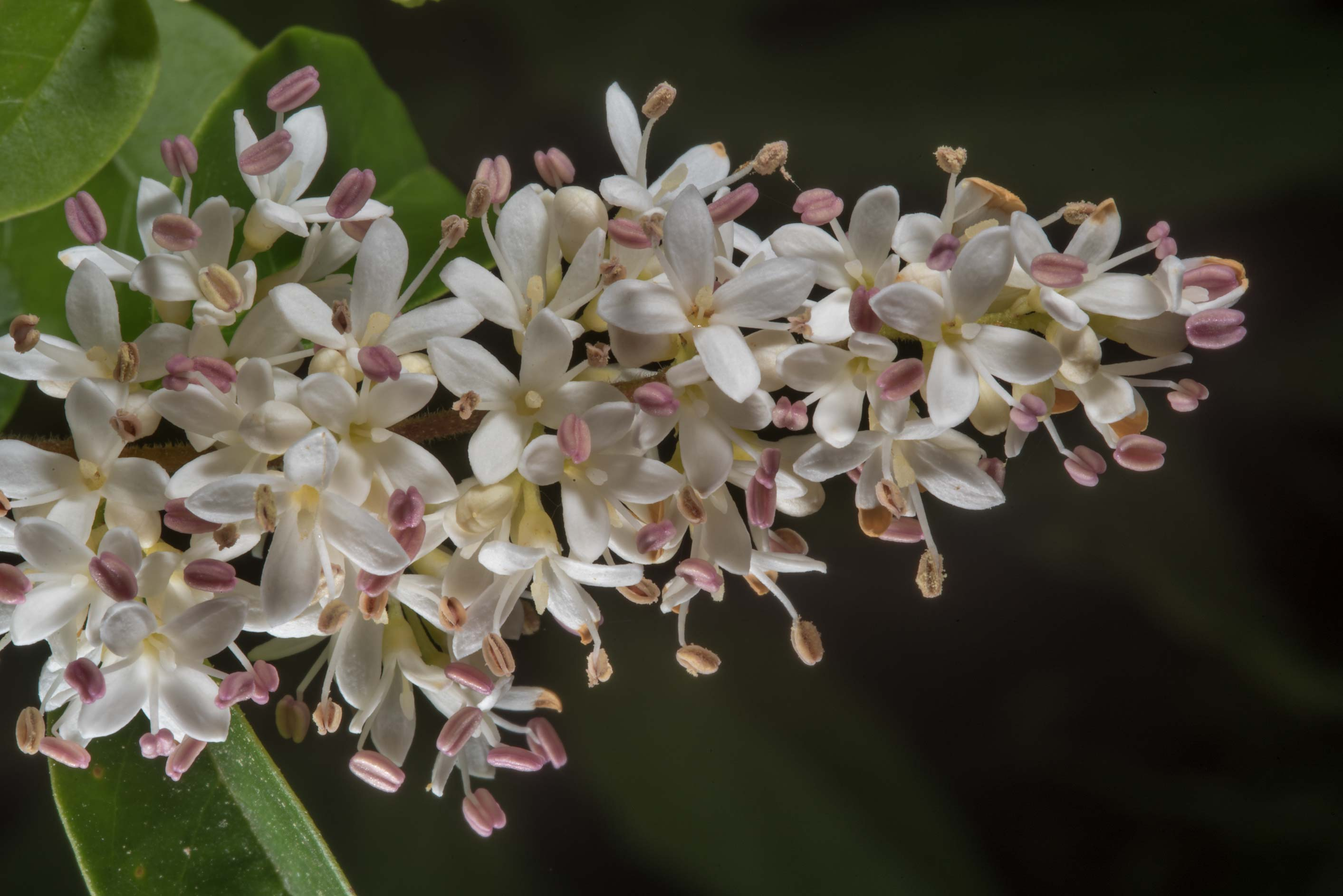 White flowers of Japanese Privet bush (Ligustrum...State Historic Site. Washington, Texas