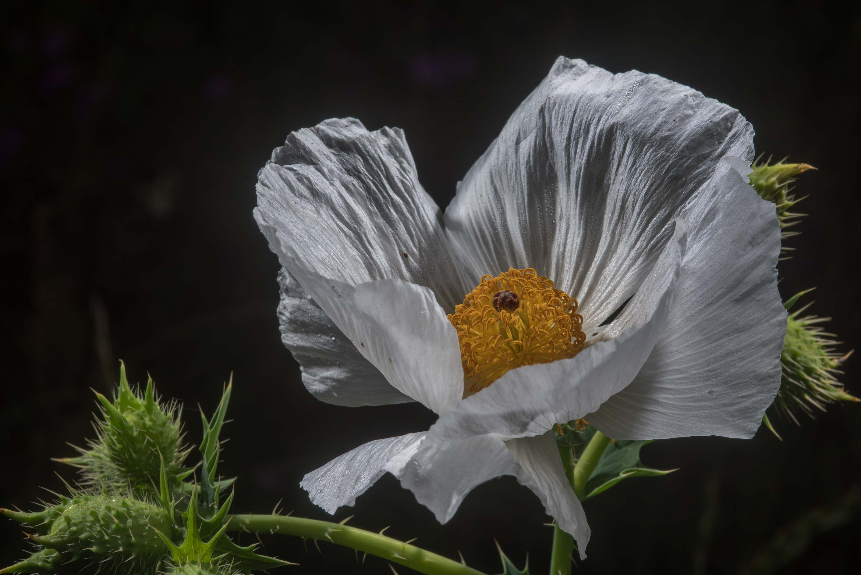 Blooming white prickly poppy (Argemone albiflora...State Historic Site. Washington, Texas