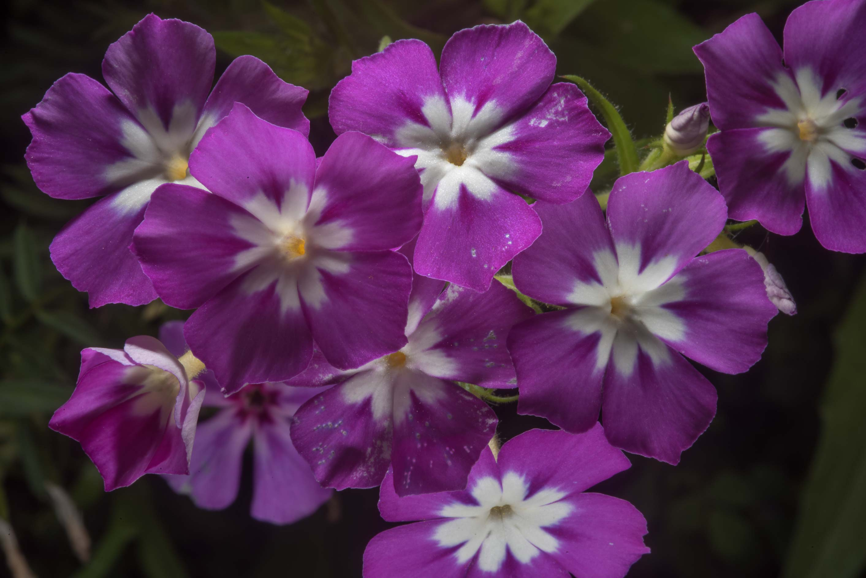 Phlox flowers in Washington-on-the-Brazos State Historic Site. Washington, Texas