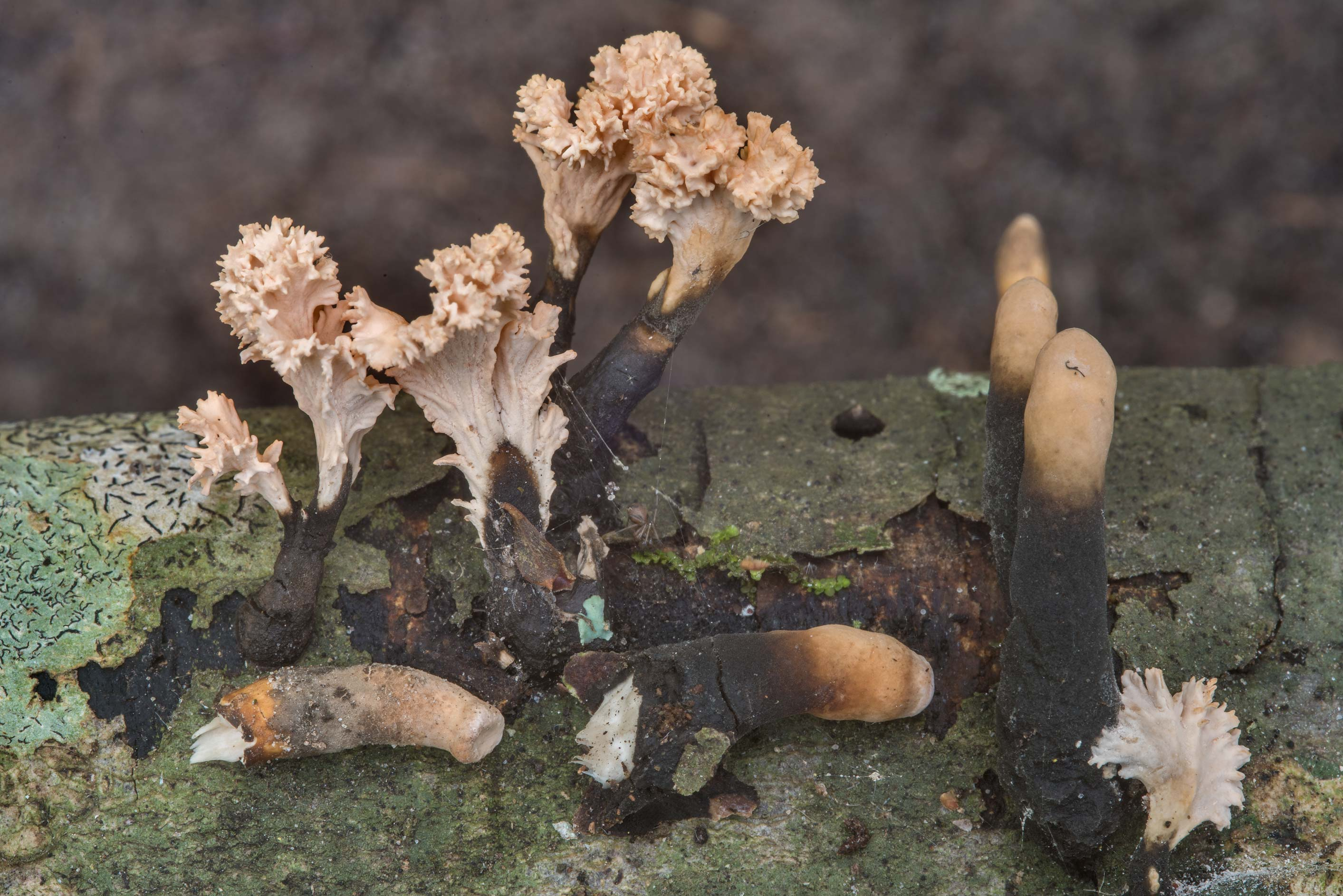 Xylaria cubensis mushrooms and their anamorph...in Hensel Park. College Station, Texas