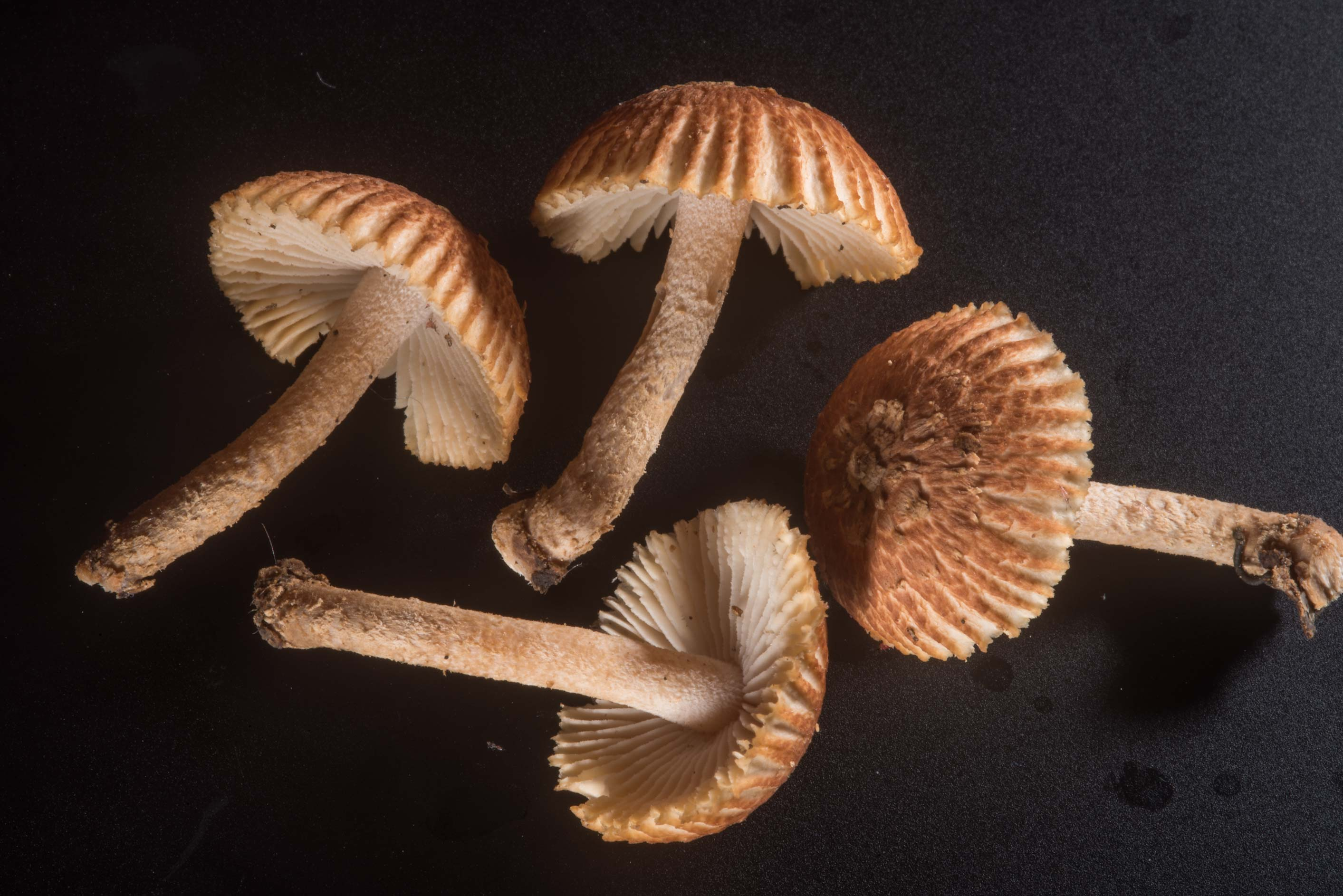 Mushrooms Heliocybe sulcata collected in Hensel Park. College Station, Texas
