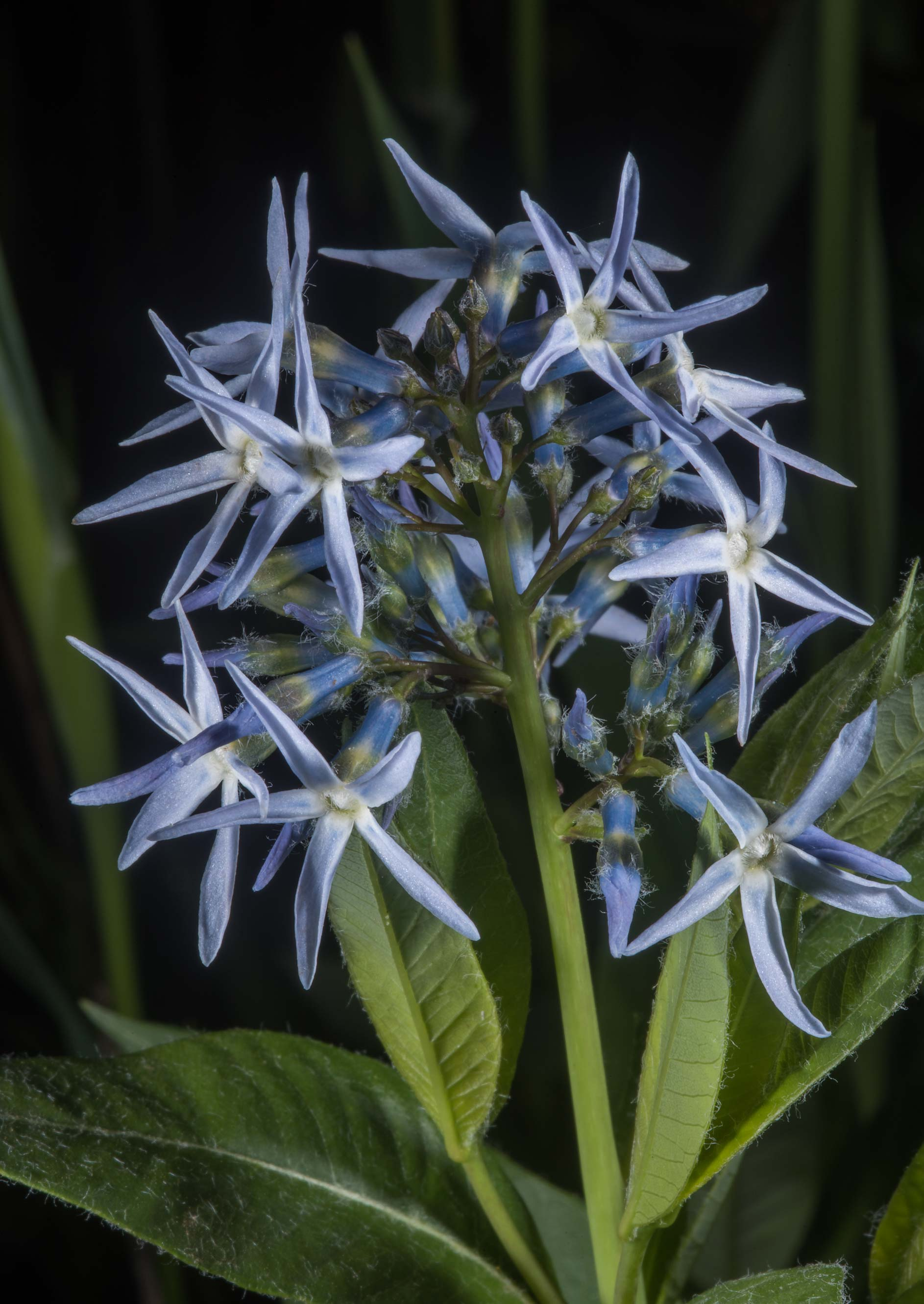 Showy blue star (Amsonia illustris) on north...of Somerville Lake State Park. Texas