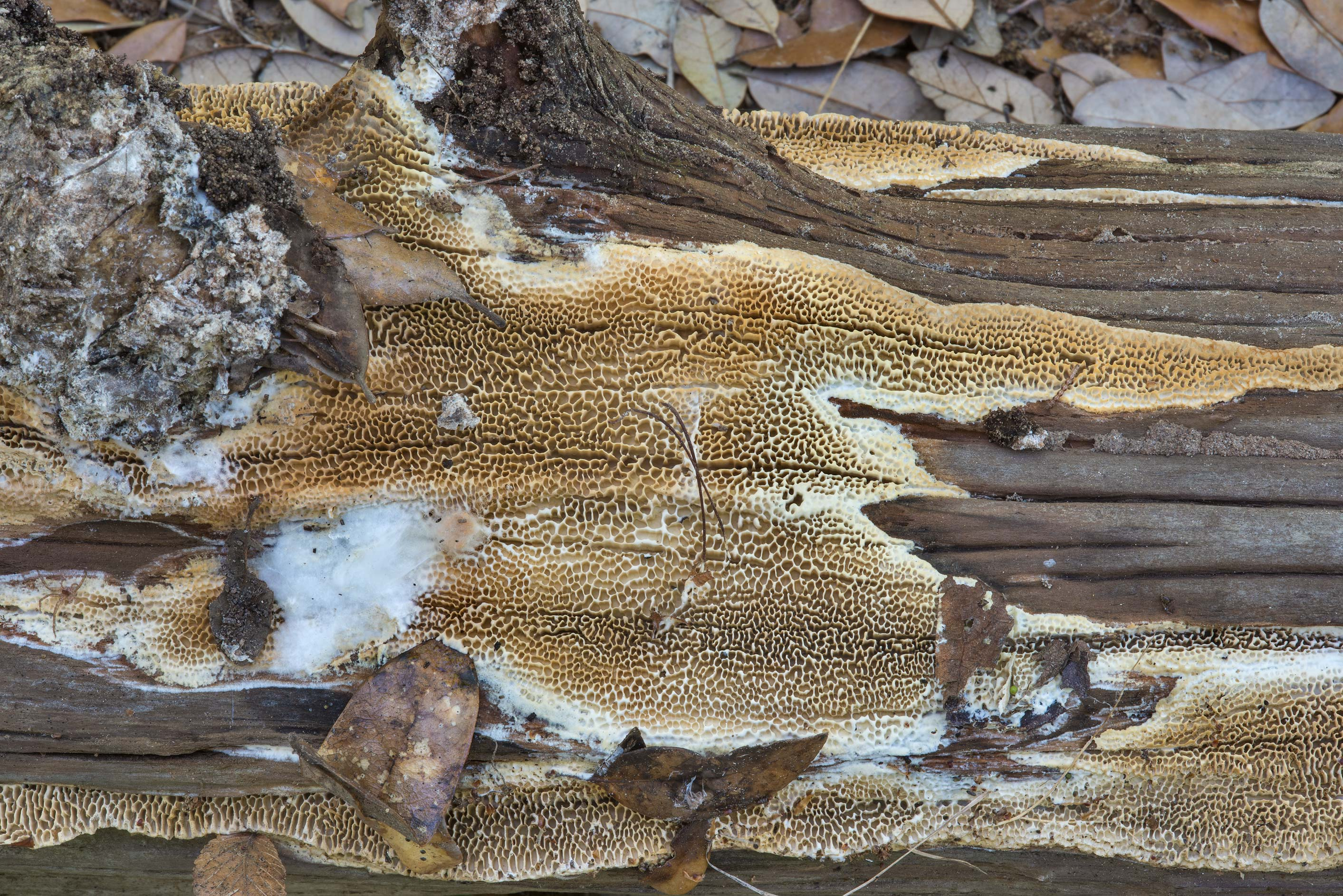 Resupinate form with large pores of Antrodia...of Somerville Lake State Park. Texas