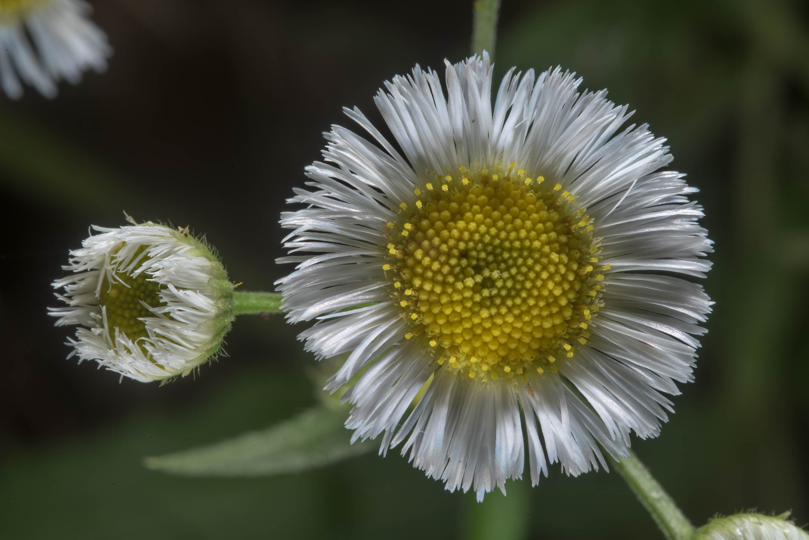 Fleaban daisy (Erigeron) on Racoon Run Trail in Lick Creek Park. College Station, Texas