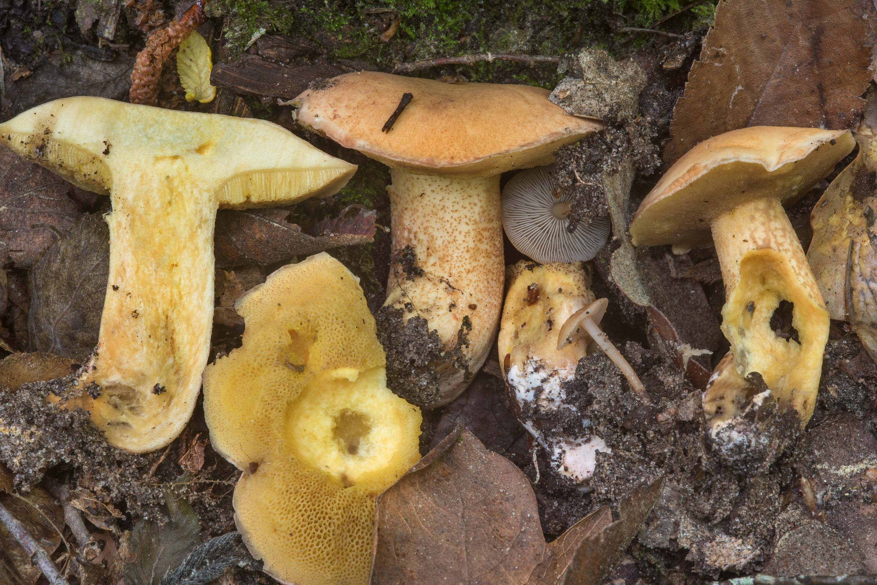 Group of bolete mushrooms Suillus on Caney Creek...National Forest near Huntsville, Texas