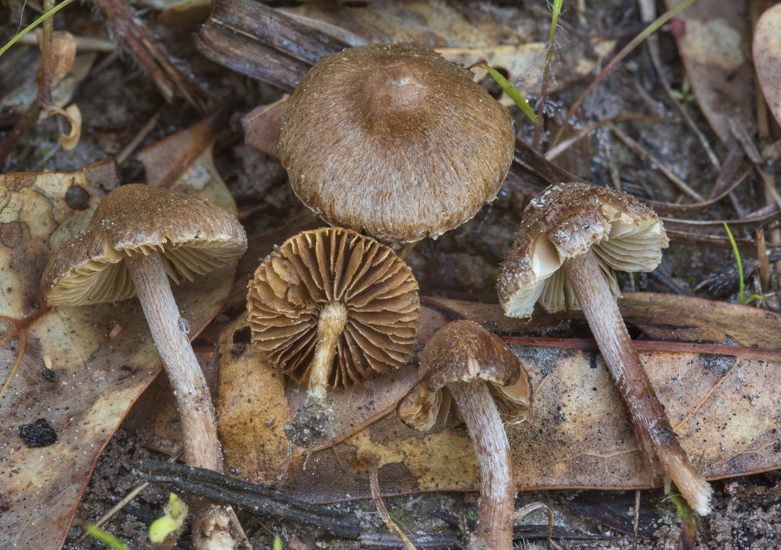Small fibrecap (Inocybe) mushrooms on an old...Creek Park. College Station, Texas