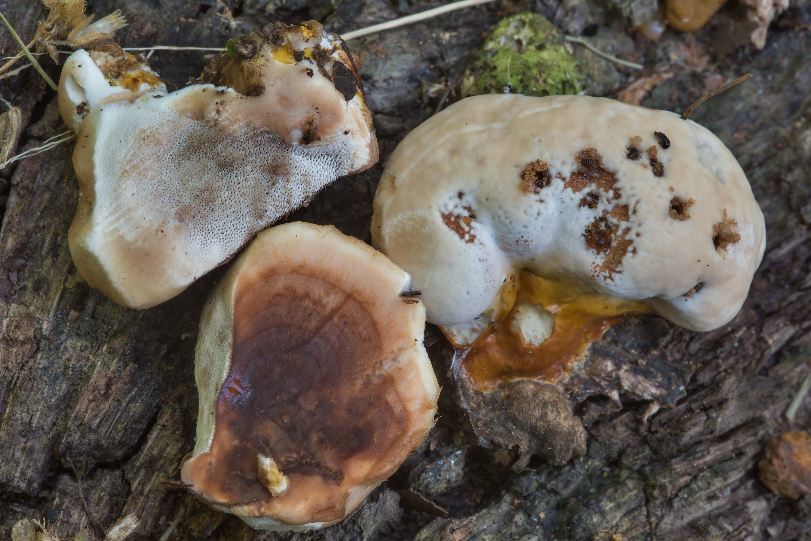 Young polypore mushroom Ganoderma sessile in Lick Creek Park. College Station, Texas