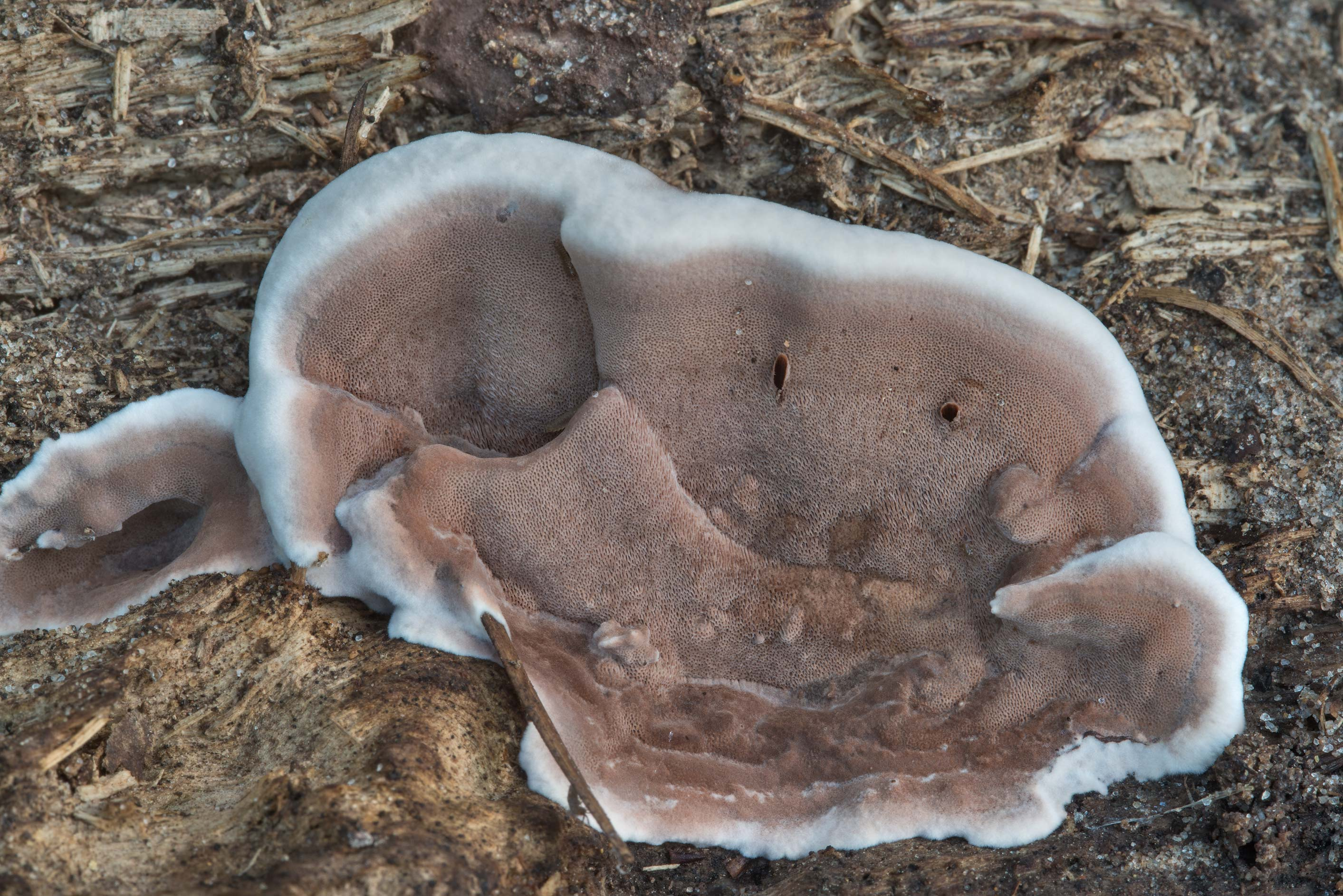Some prostrate polypore mushroom smoky bracket...National Forest near Huntsville, Texas
