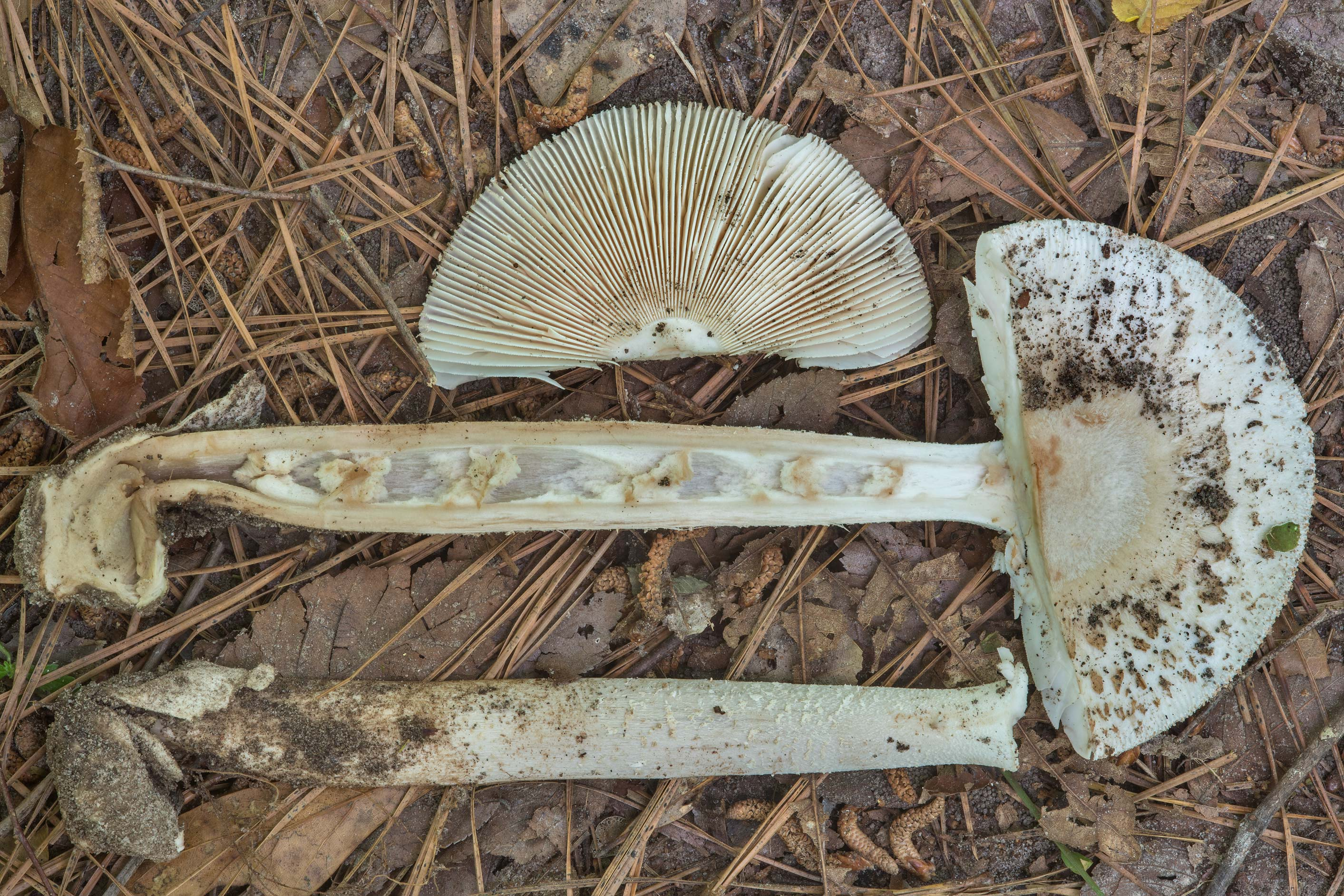 Dissected Amanita sect. Vaginatae or may be...Forest, near Huntsville. Texas
