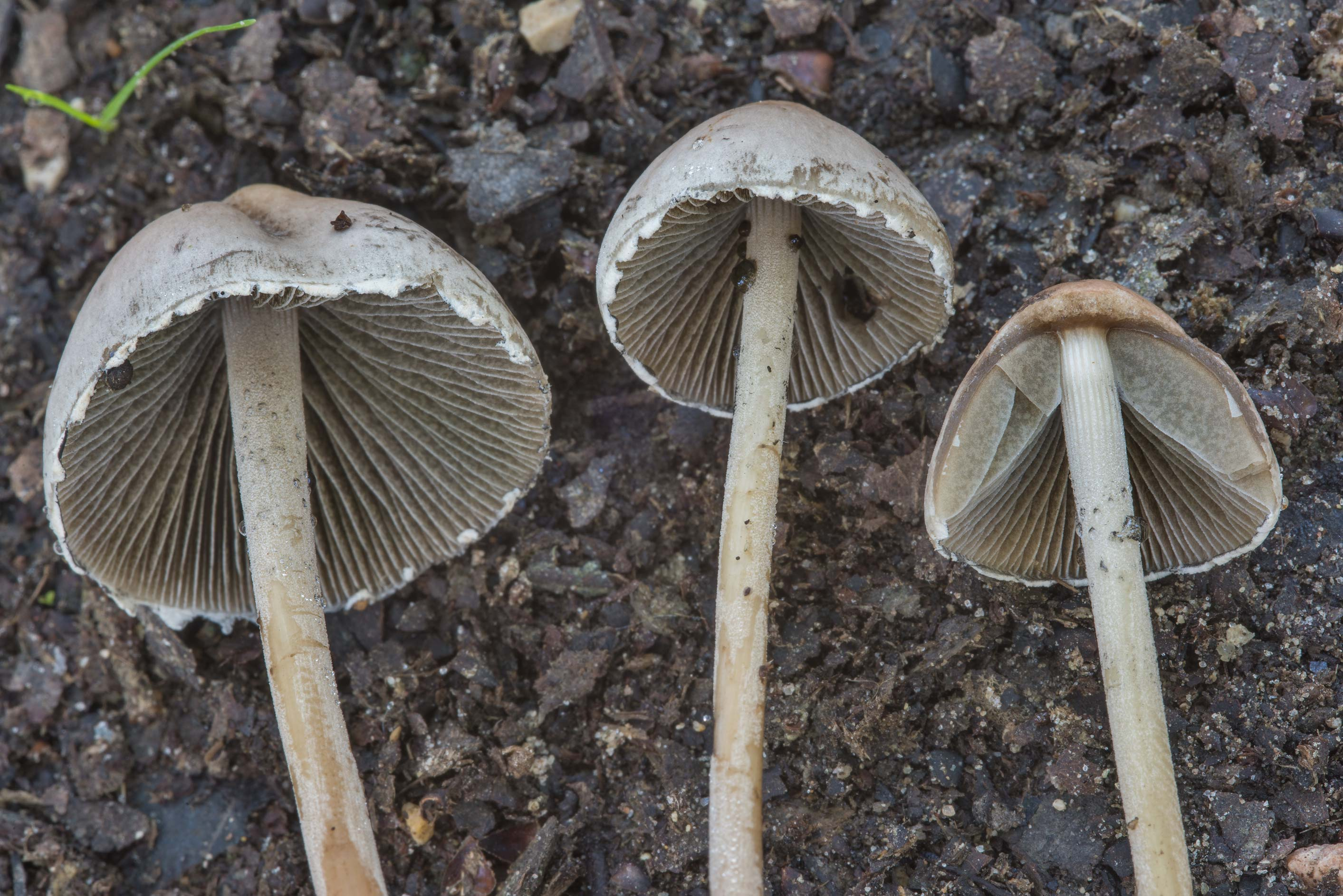 Close up of petticoat mottlegill mushrooms...of Somerville Lake State Park. Texas