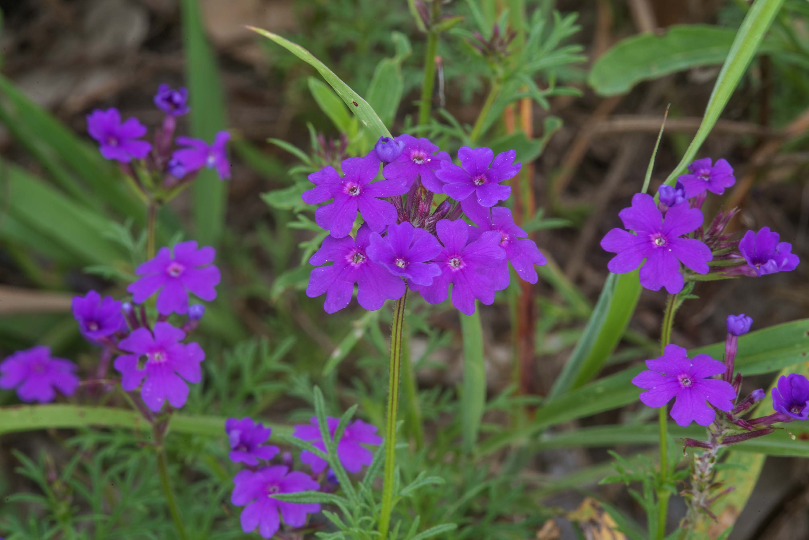 Prairie verbena (Glandularia bipinnatifida) near...Bee Creek Park. College Station, Texas