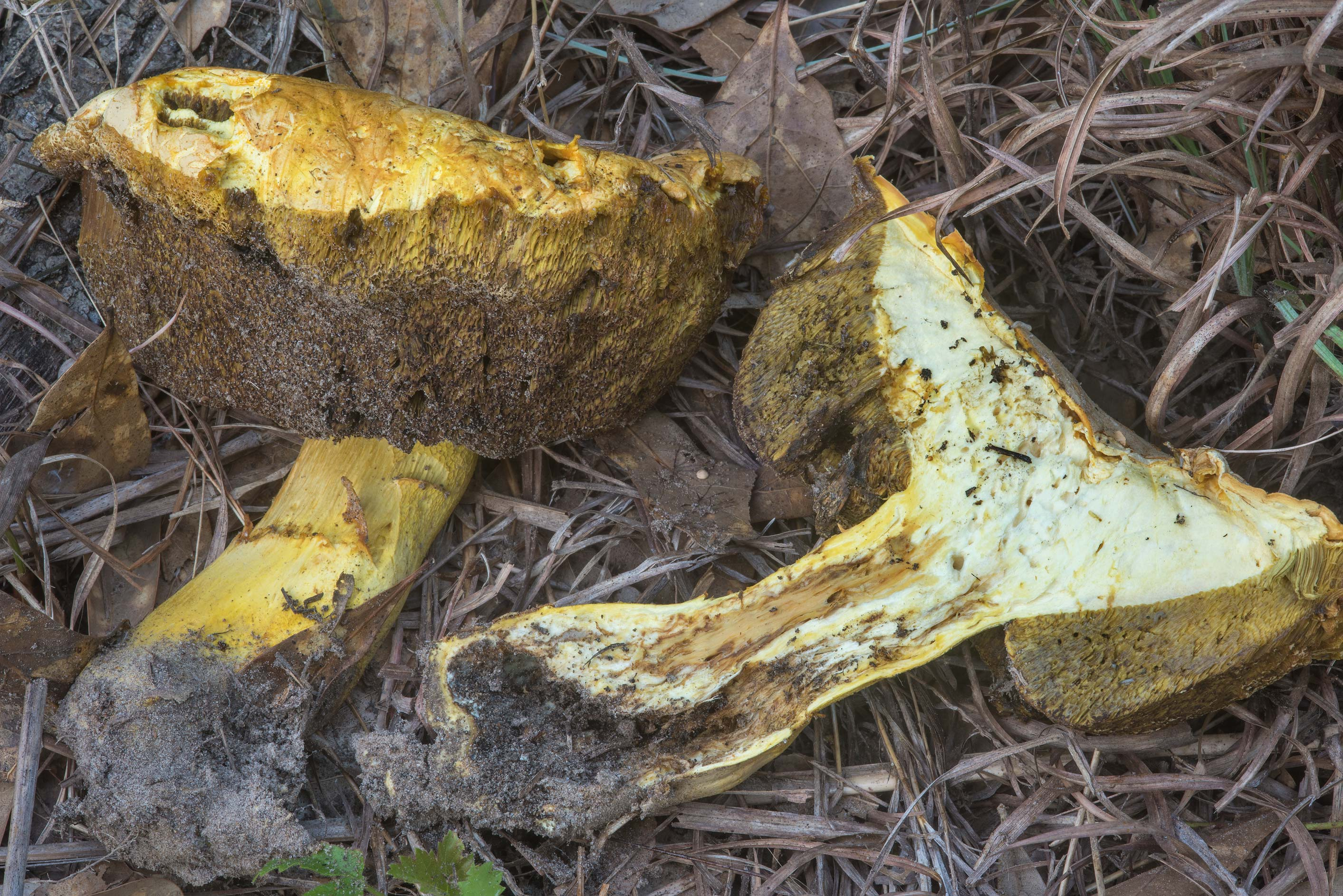 Some old bolete mushroom in Lick Creek Park. College Station, Texas