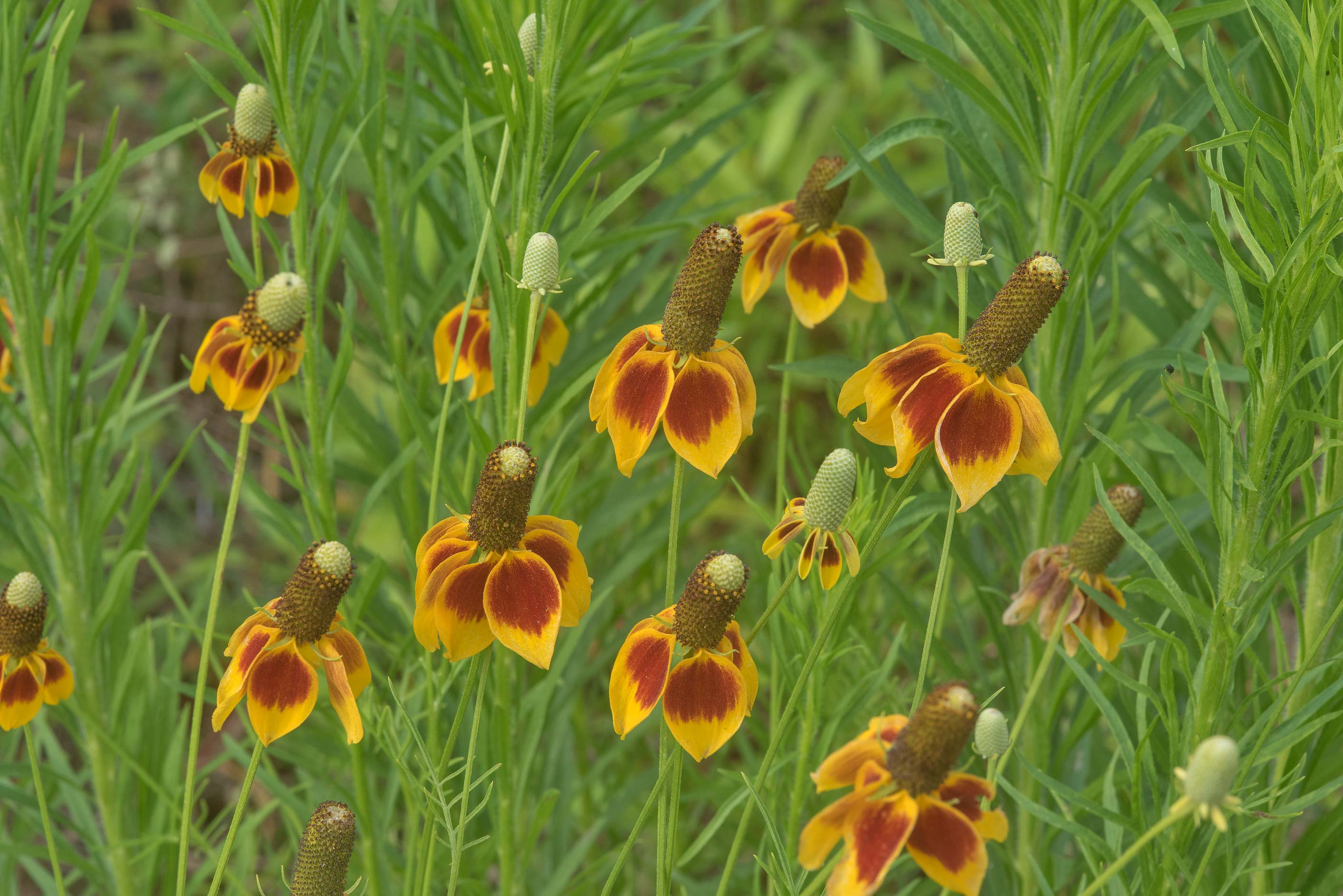 Mexican hat flowers (Ratibida columnifera) near a...State Historic Site. Washington, Texas