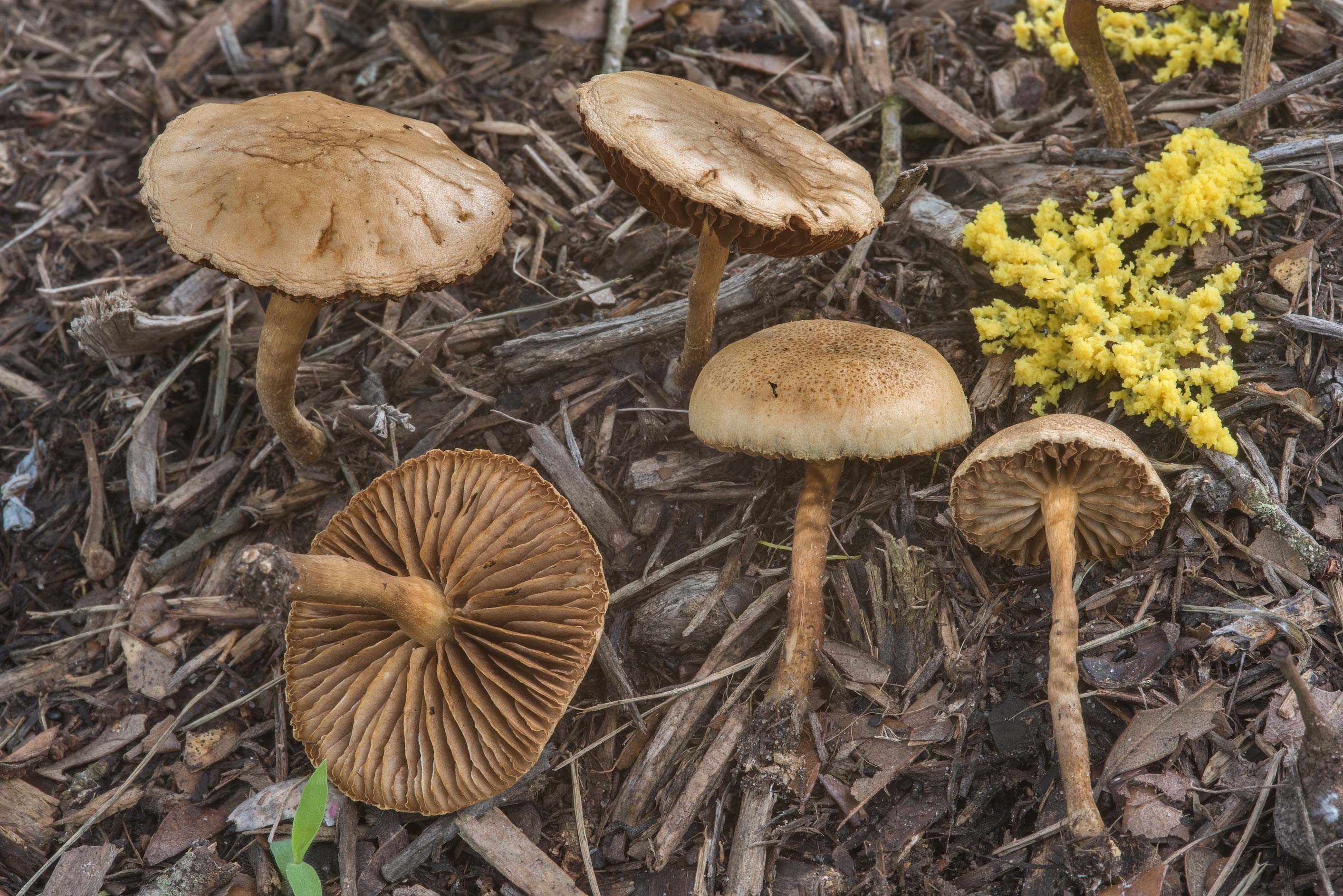 Common fieldcap mushrooms (Agrocybe pediades) on...Ashburn St.. College Station, Texas