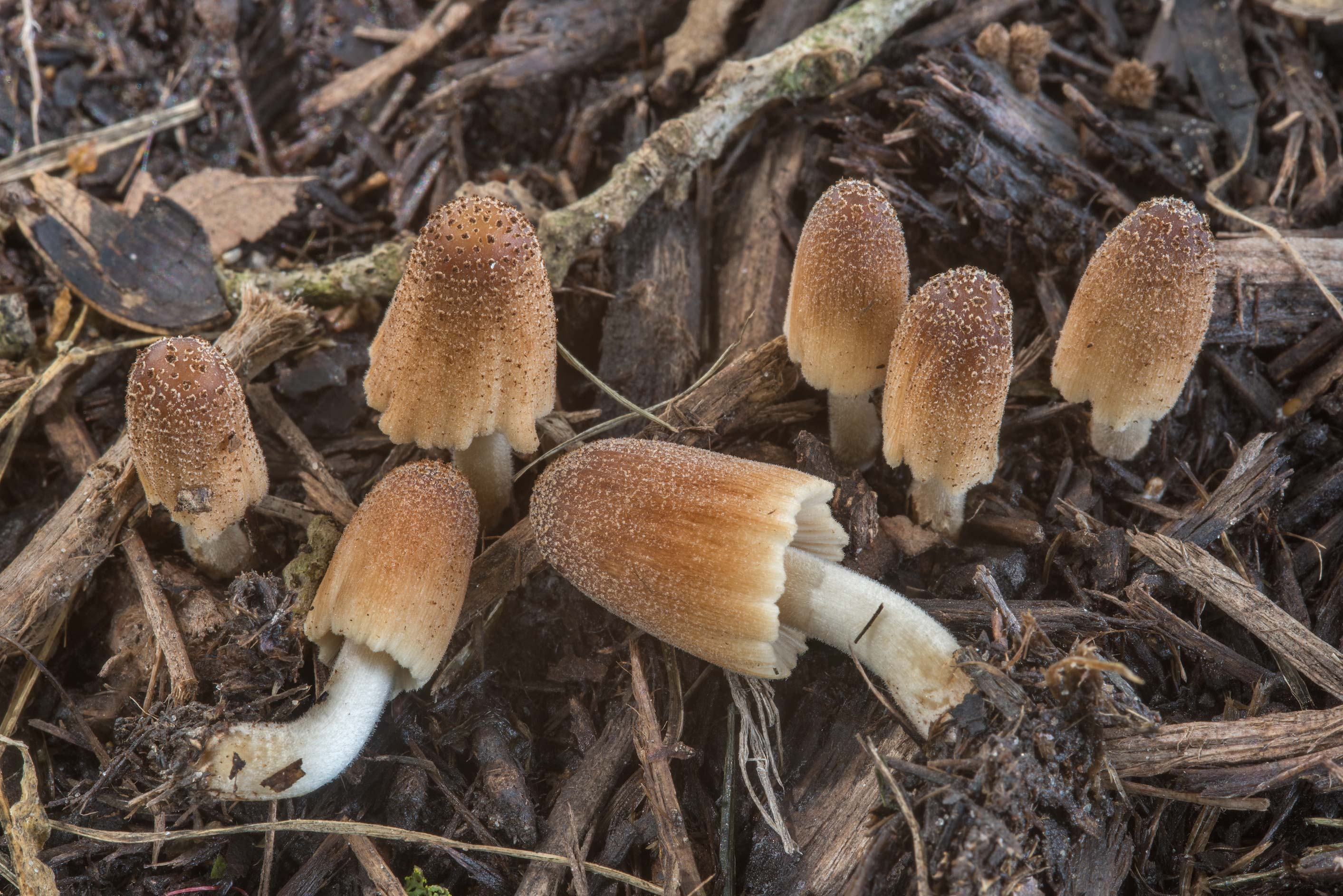 Inkcap mushrooms Coprinellus sect. Domestici on...Ashburn St.. College Station, Texas