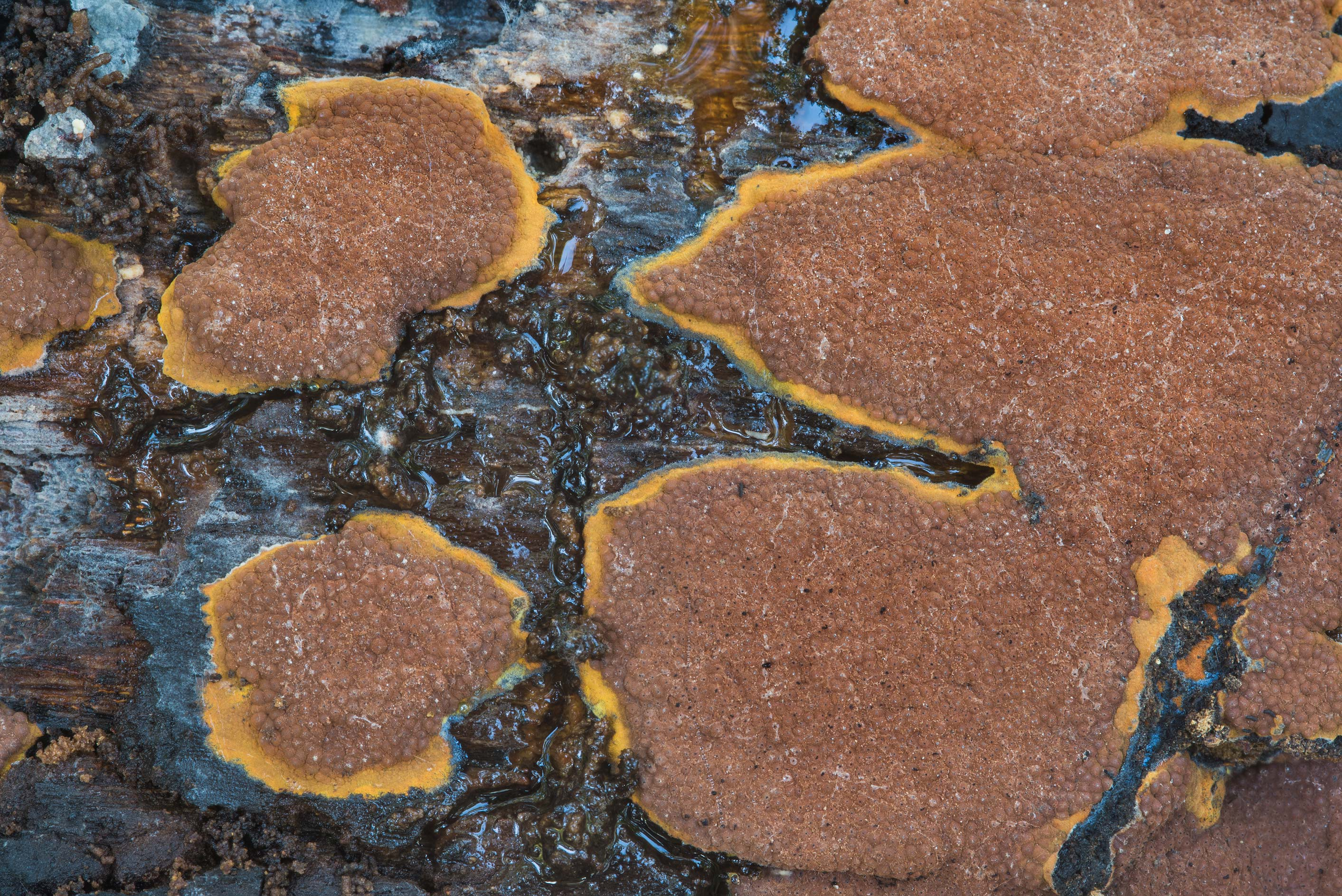 Close up of Hypoxylaceae crust fungus on a...National Forest. Richards, Texas