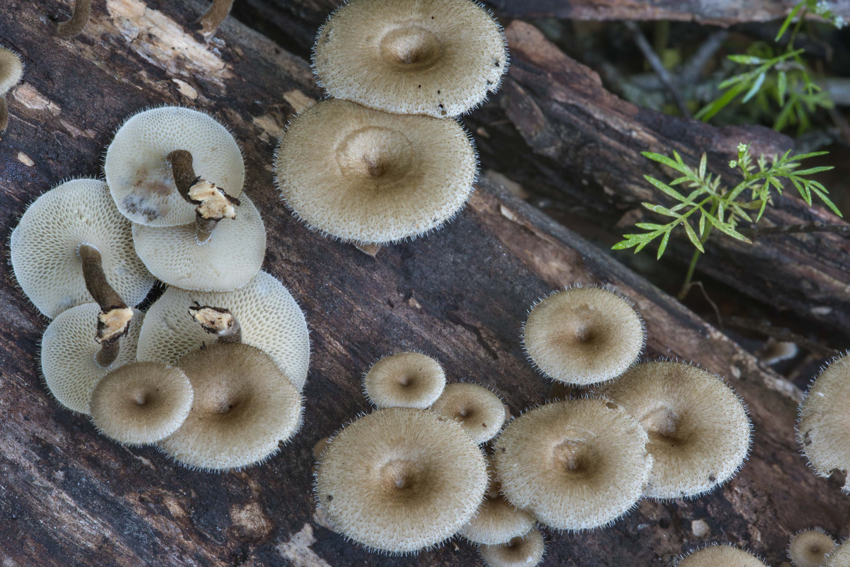 Lentinus crinitus mushrooms on rotting wood in Lick Creek Park. College Station, Texas