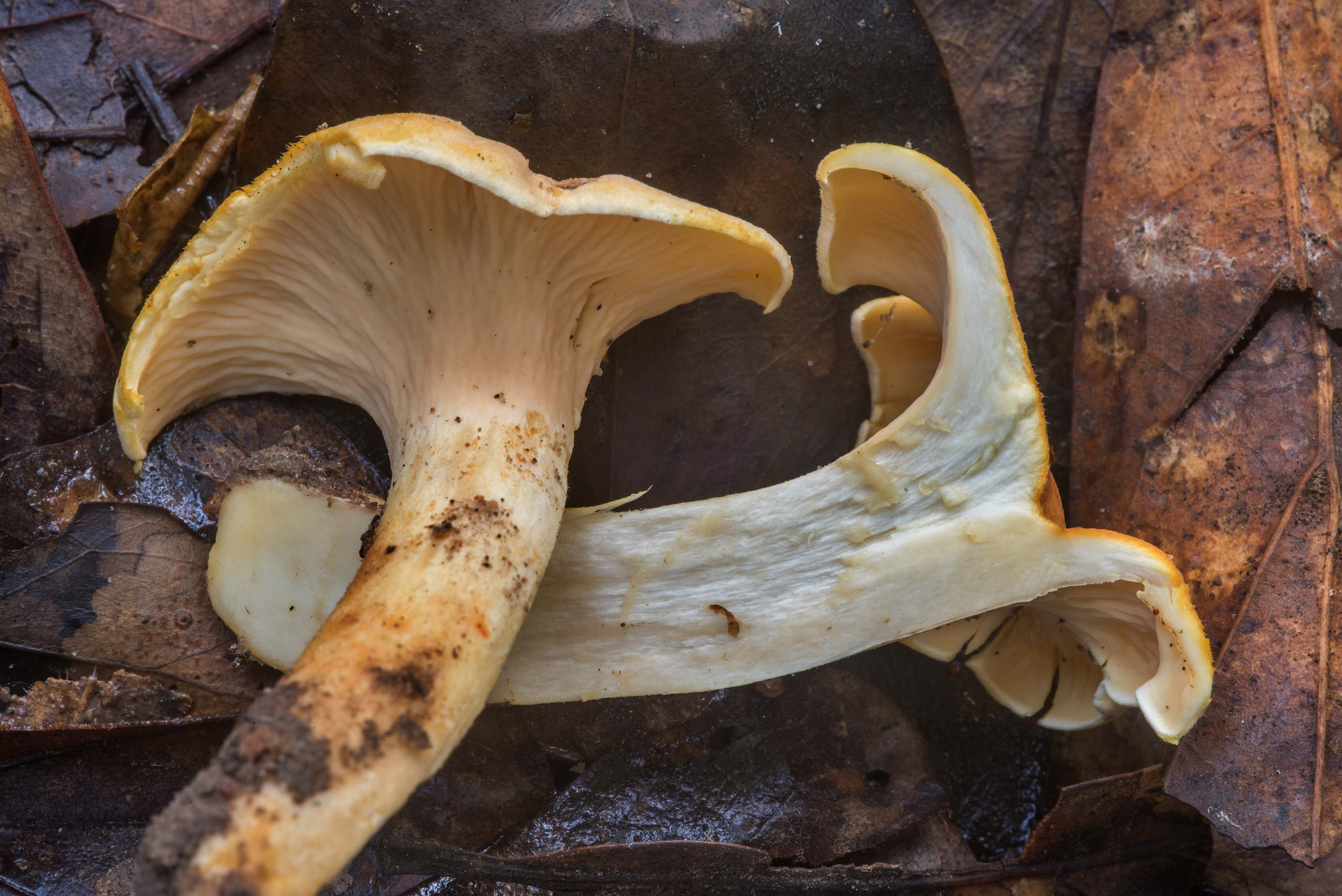 Dissected smooth chanterelle mushroom...Creek Park. College Station, Texas