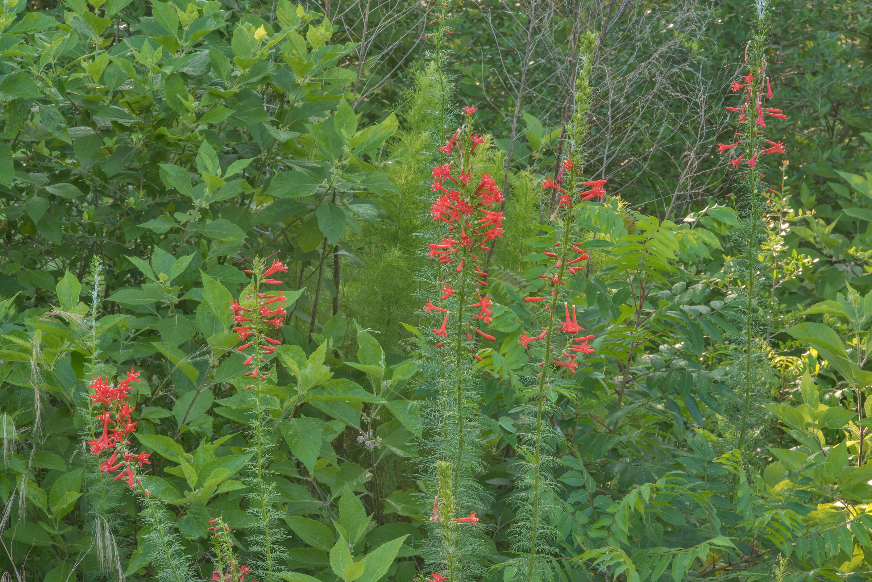 Texas plume (standing cypress, Ipomopsis rubra...Creek Park. College Station, Texas