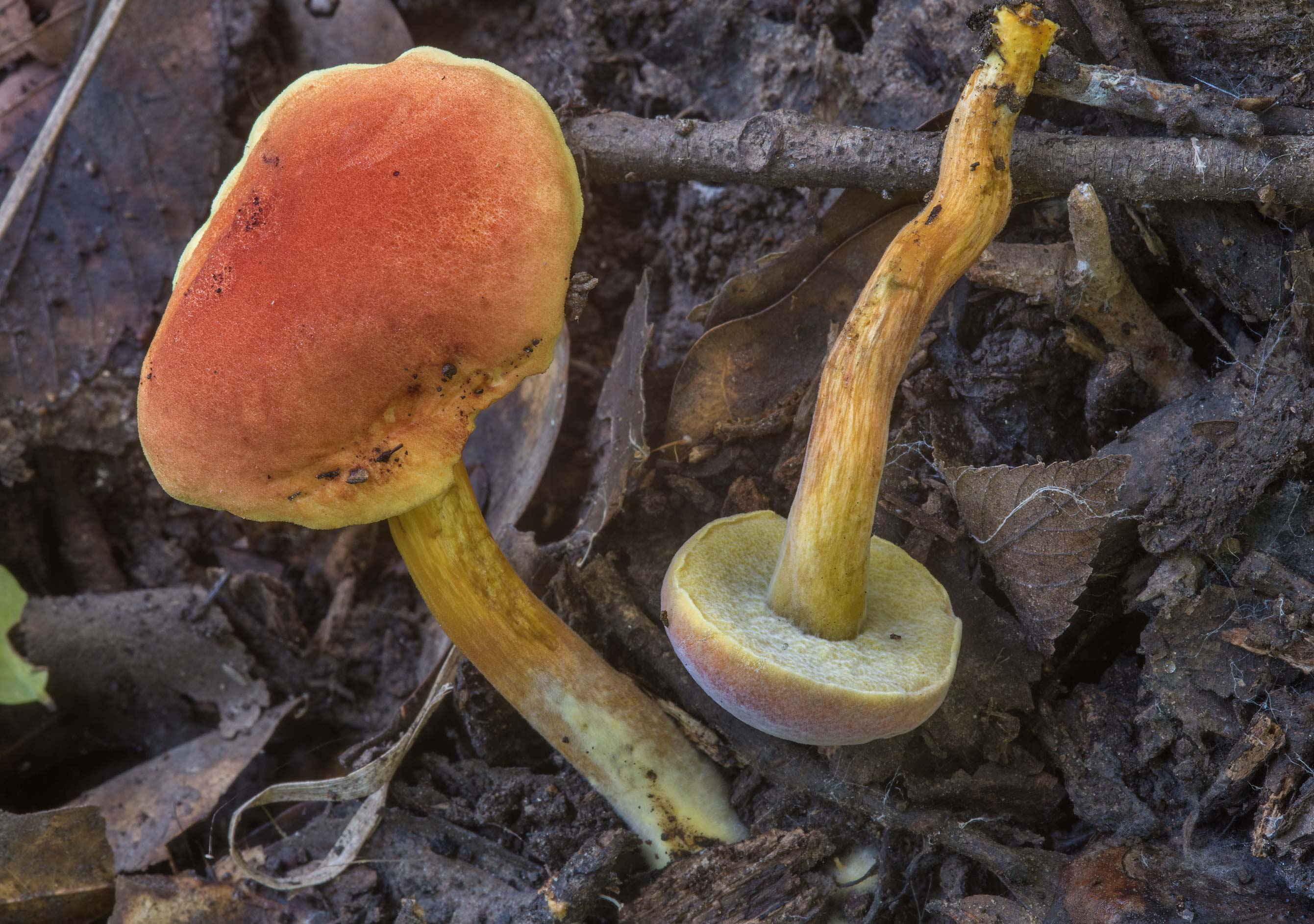 Small Hortiboletus mushrooms in Lick Creek Park. College Station, Texas