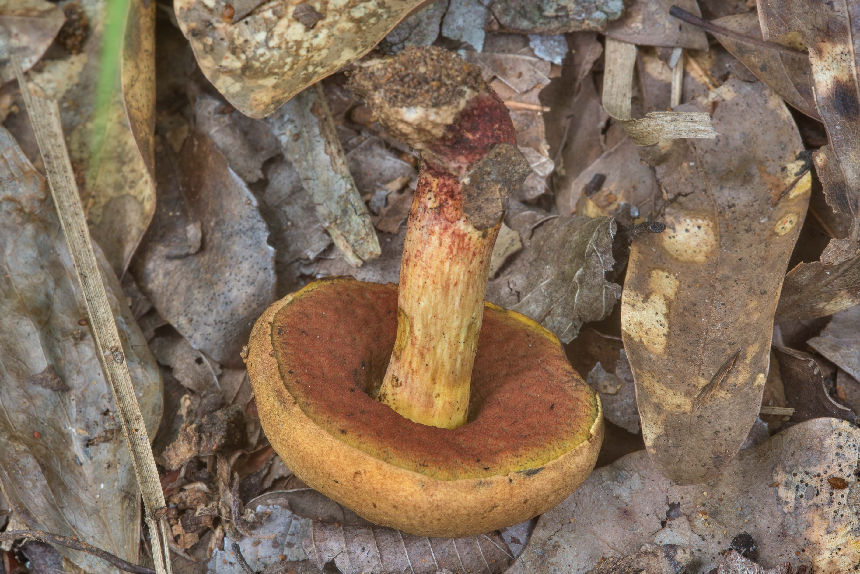 Hickory Bolete mushroom (Suillellus hypocarycinus...Creek Park. College Station, Texas