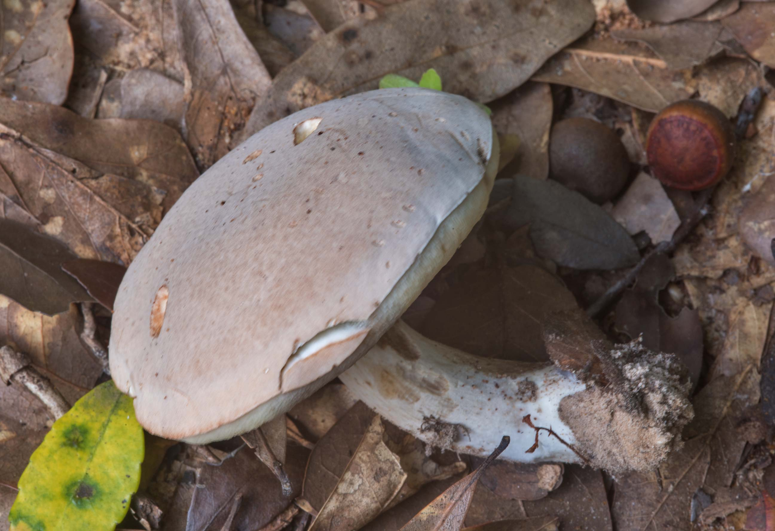 Pale bolete mushroom (Boletus pallidus) in Lick Creek Park. College Station, Texas