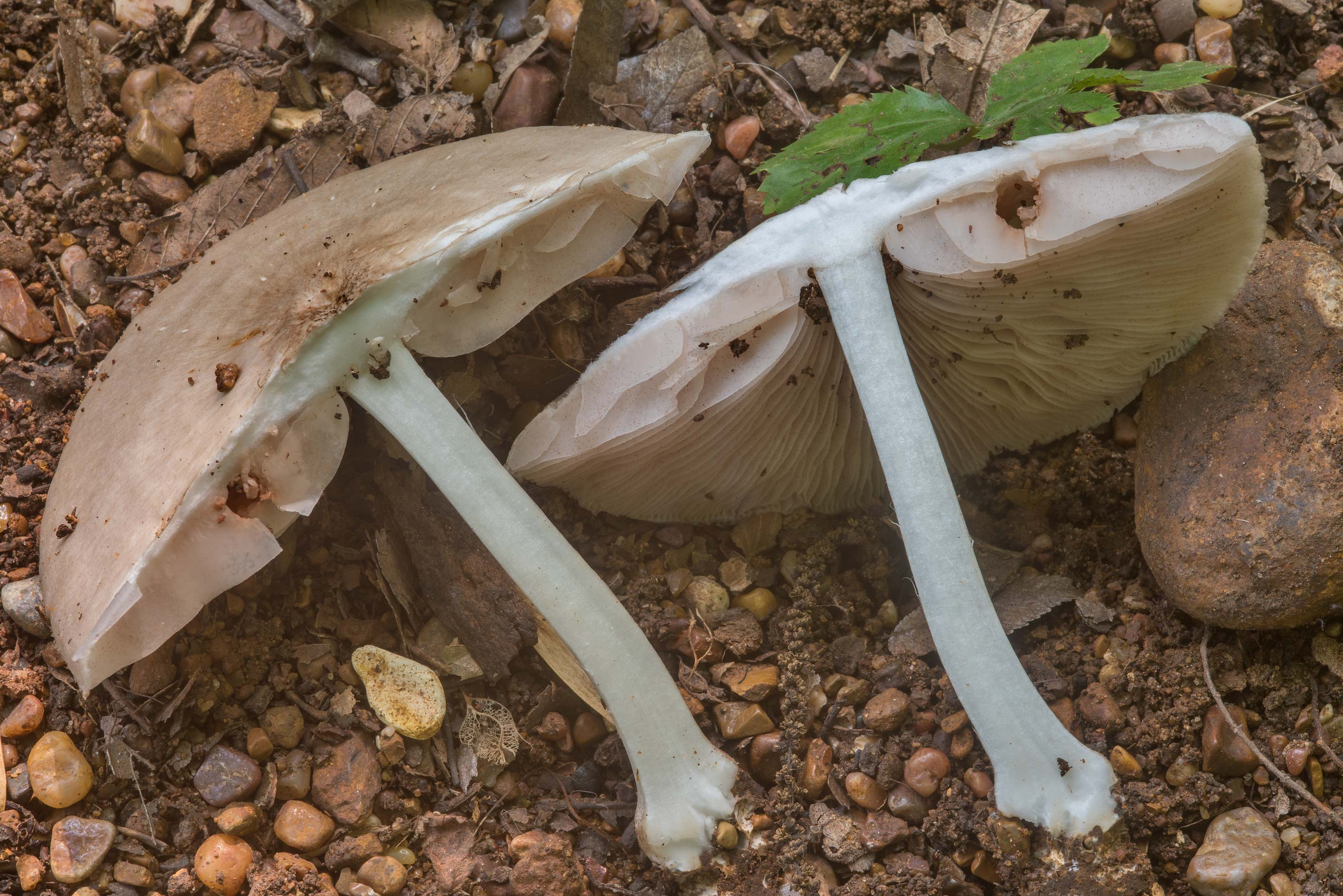 Dissected Pluteus americanus mushroom on a sandy...Creek Park. College Station, Texas
