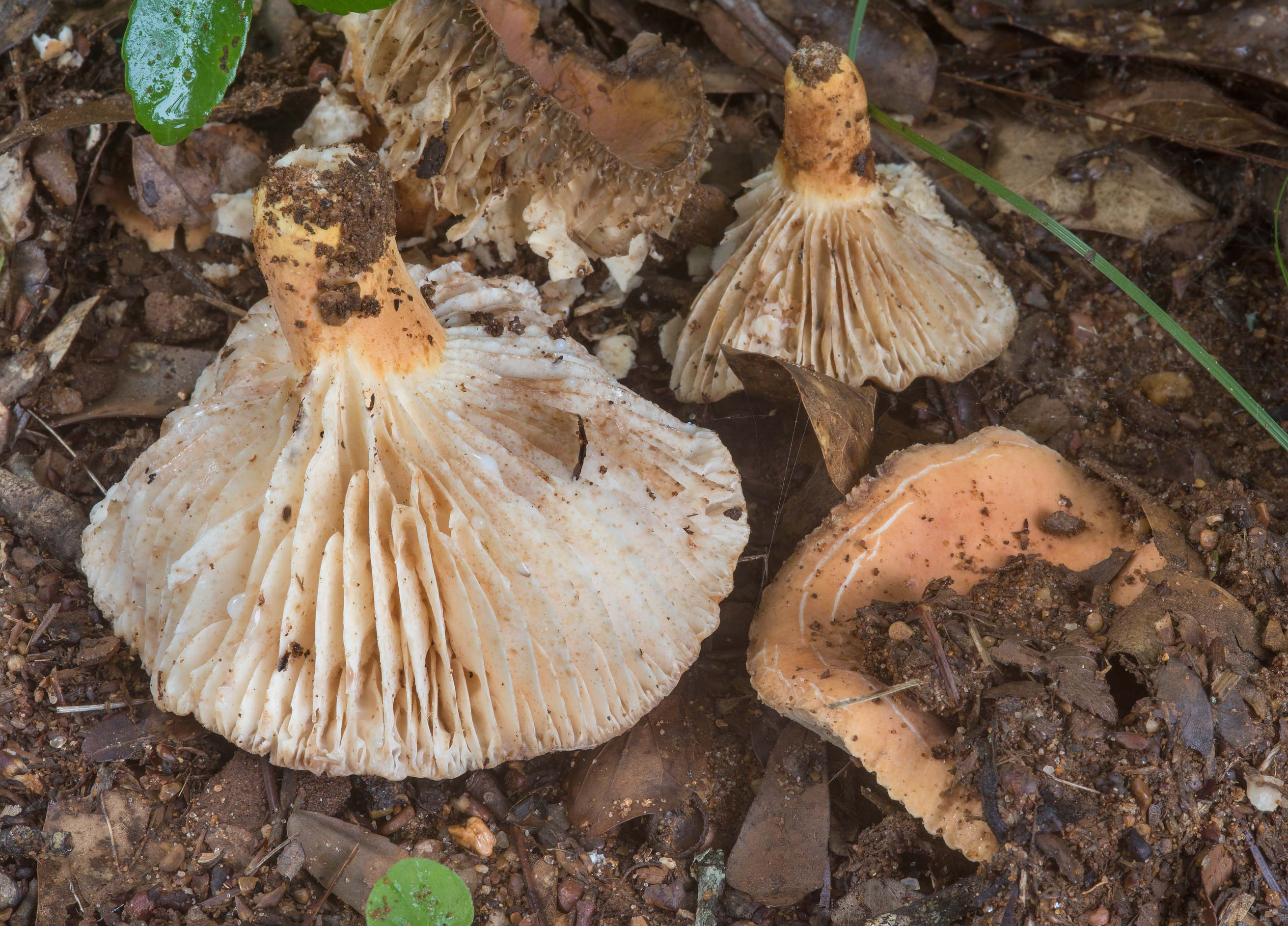 Milkcap mushrooms Lactifluus hygrophoroides in Lick Creek Park. College Station, Texas