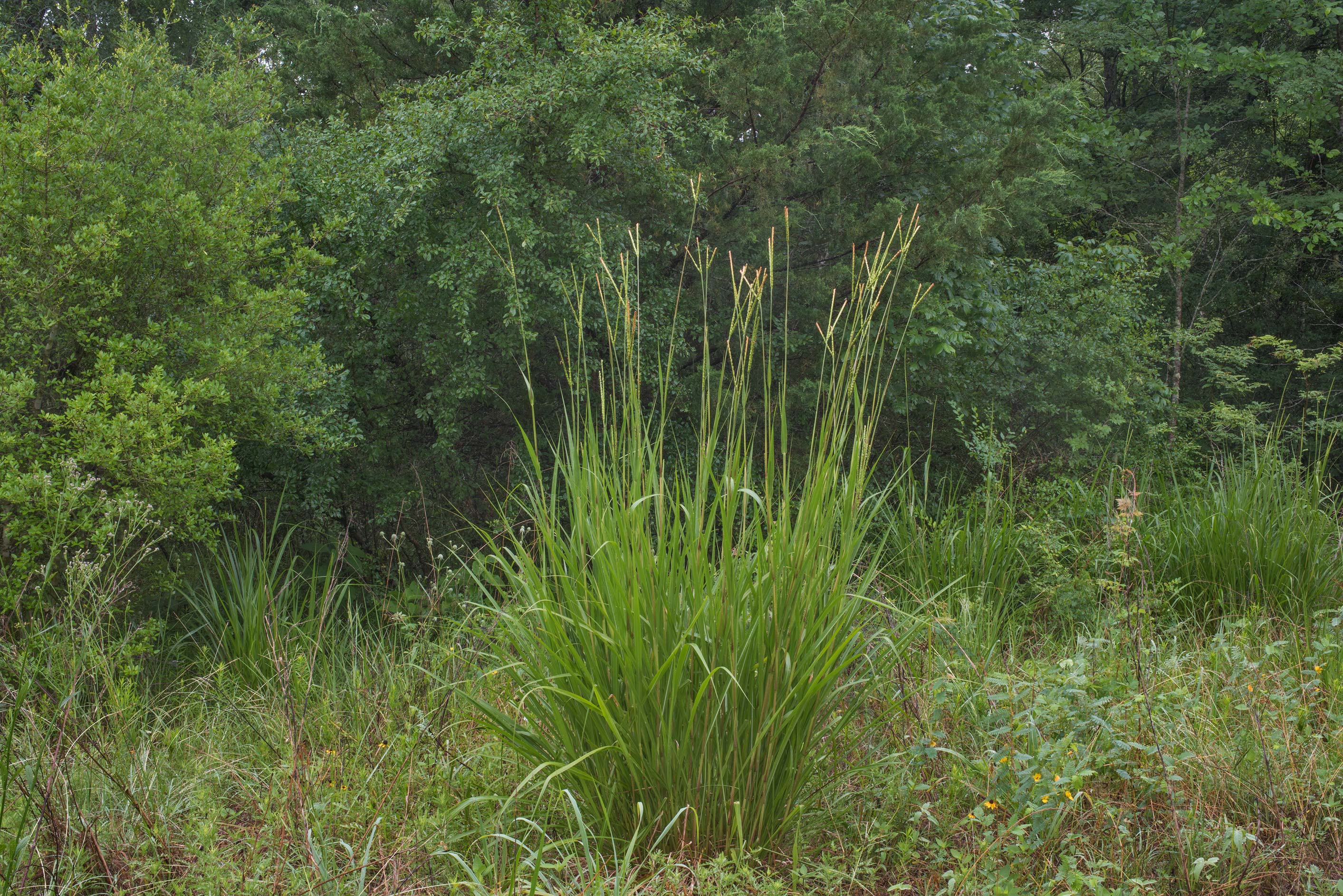 Eastern gamagrass (Fakahatchee Grass, Tripsacum...Creek Park. College Station, Texas