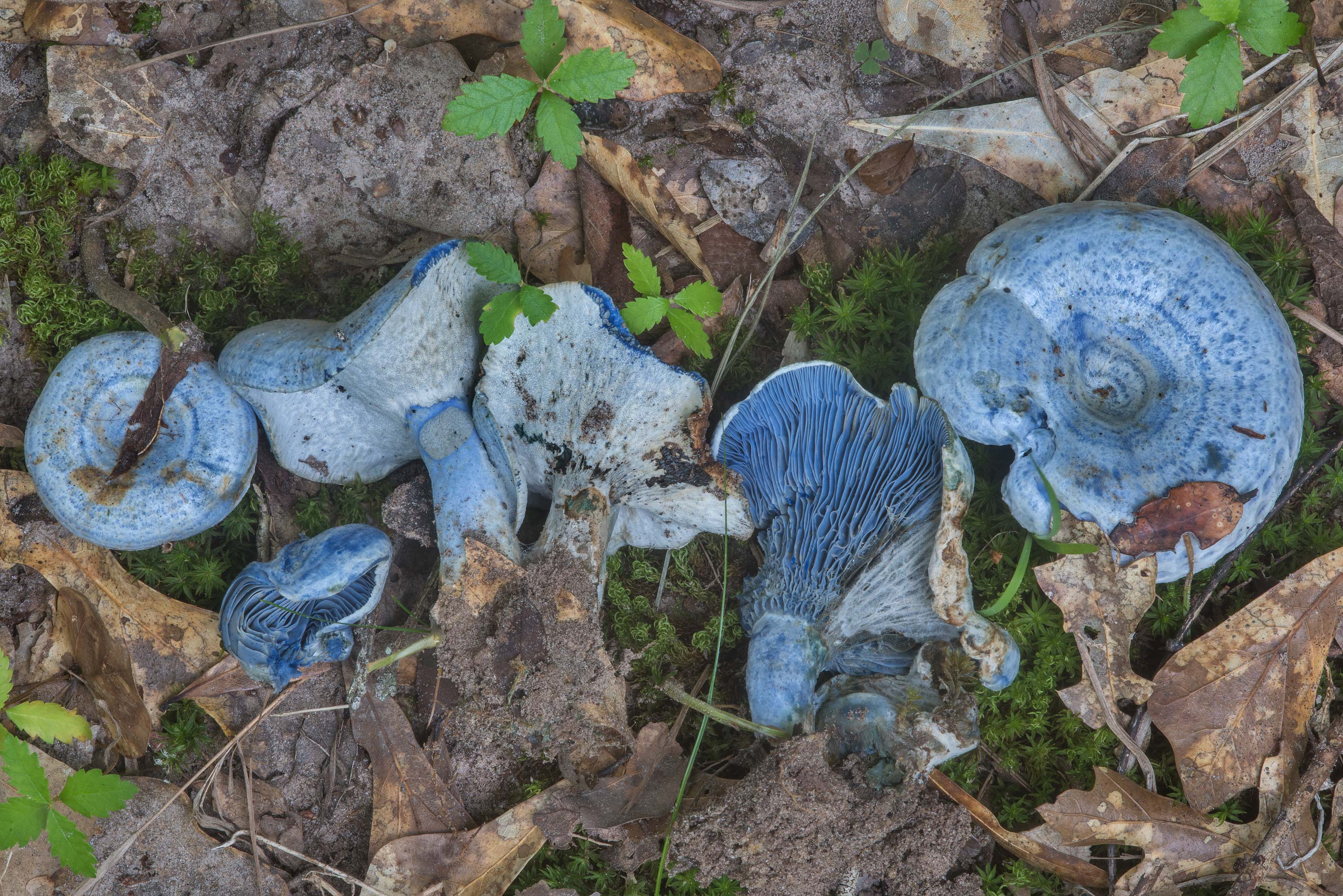 Blue milkcap mushrooms (Lactarius indigo) with...Creek Park. College Station, Texas