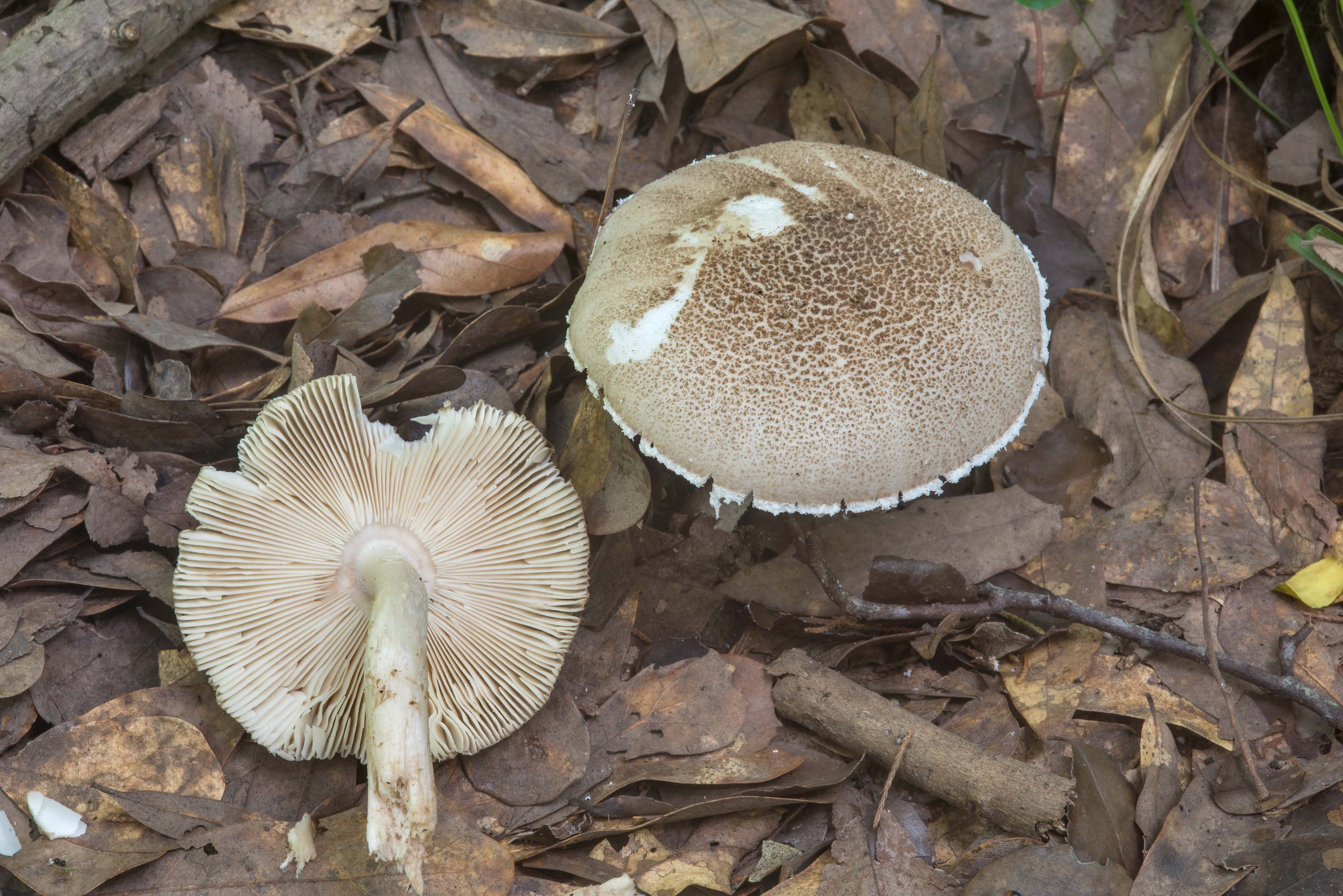Grisette (Amanita sect. Vaginatae) and powder-cap...Creek Park. College Station, Texas