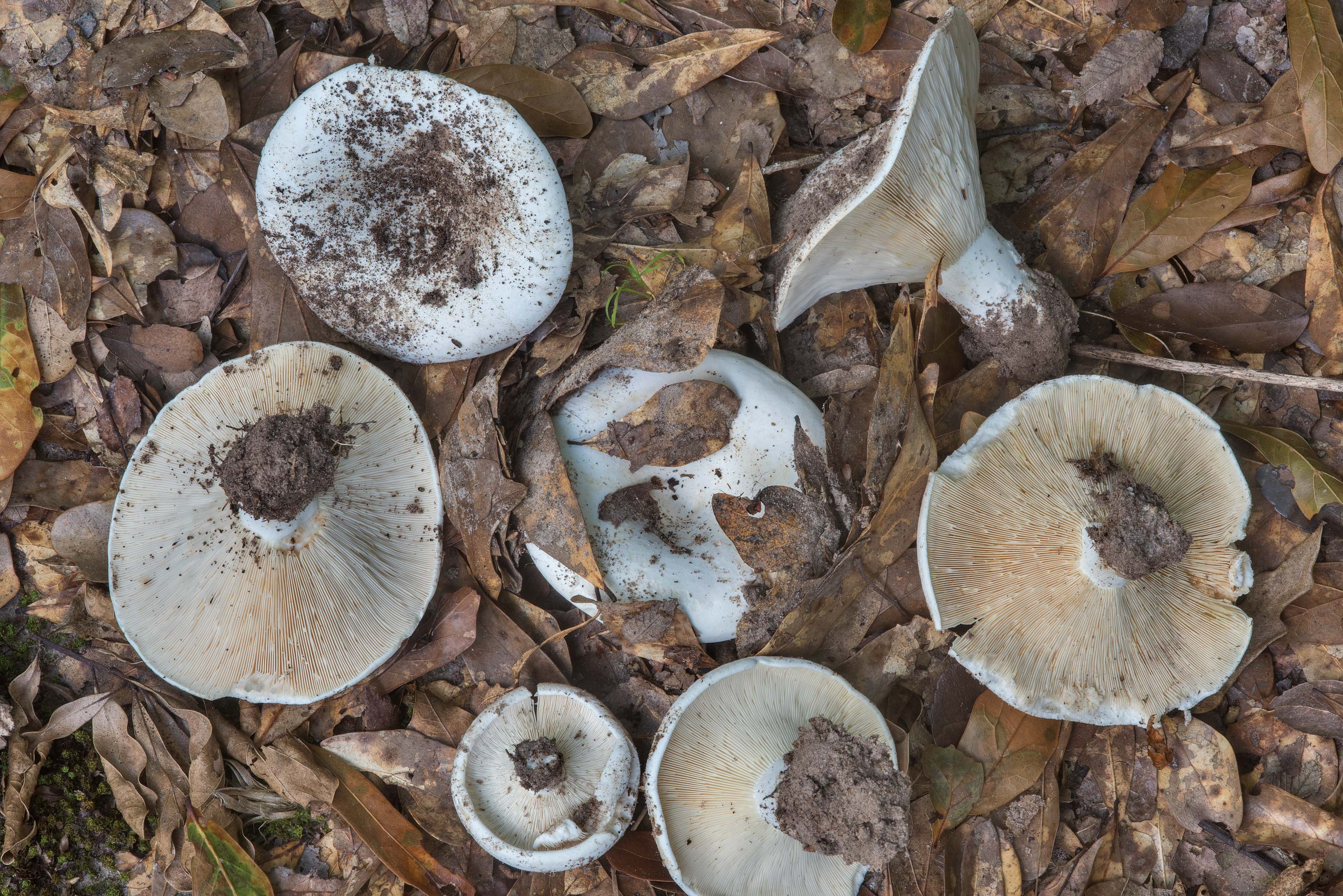 Milkcap mushrooms Lactifluus piperatus in dry oak...Creek Park. College Station, Texas