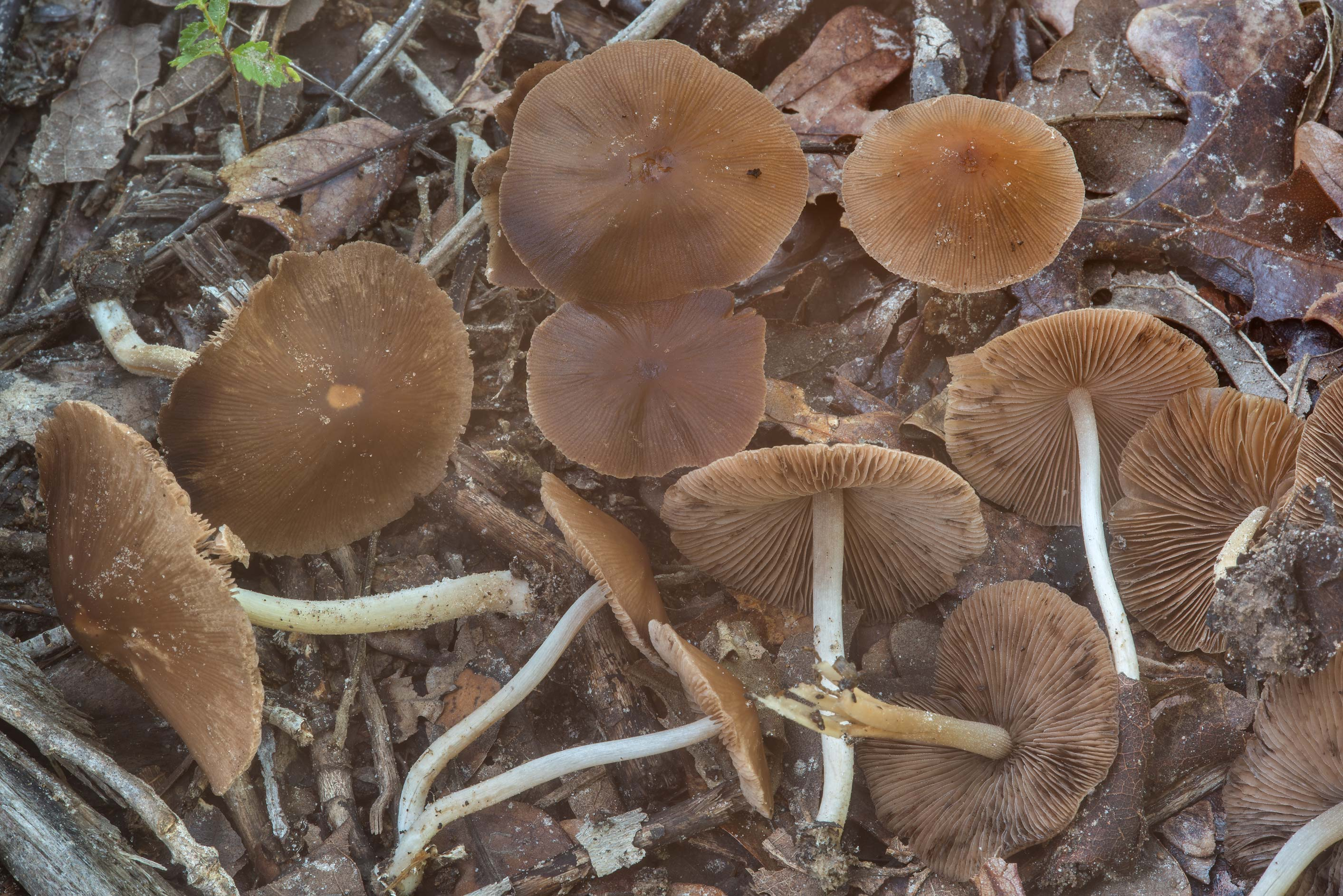 Brittlestem (Psathyrella) mushrooms on a recent...Creek Park. College Station, Texas
