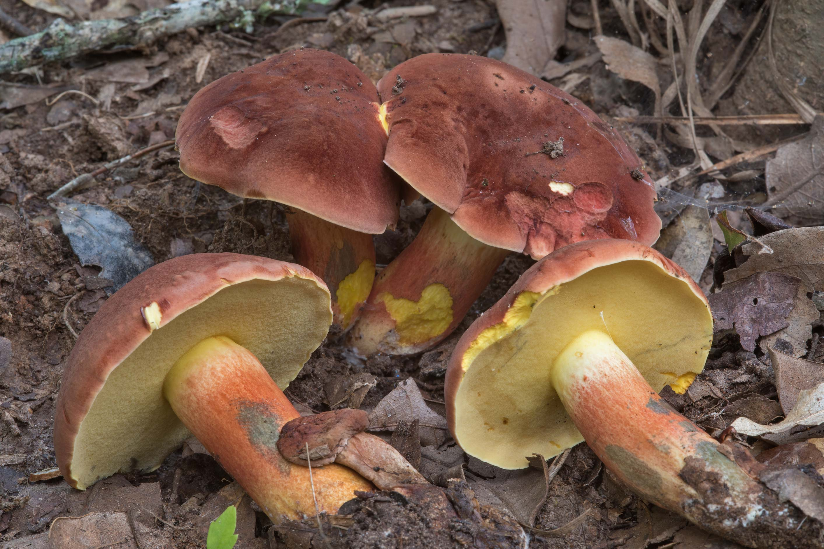 Group of bolete mushrooms Lanmaoa under small...Creek Park. College Station, Texas
