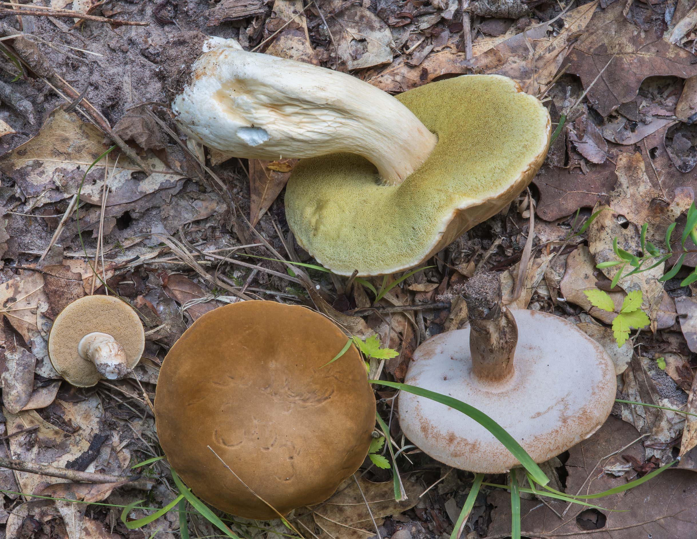 Various bolete mushrooms in Lick Creek Park. College Station, Texas