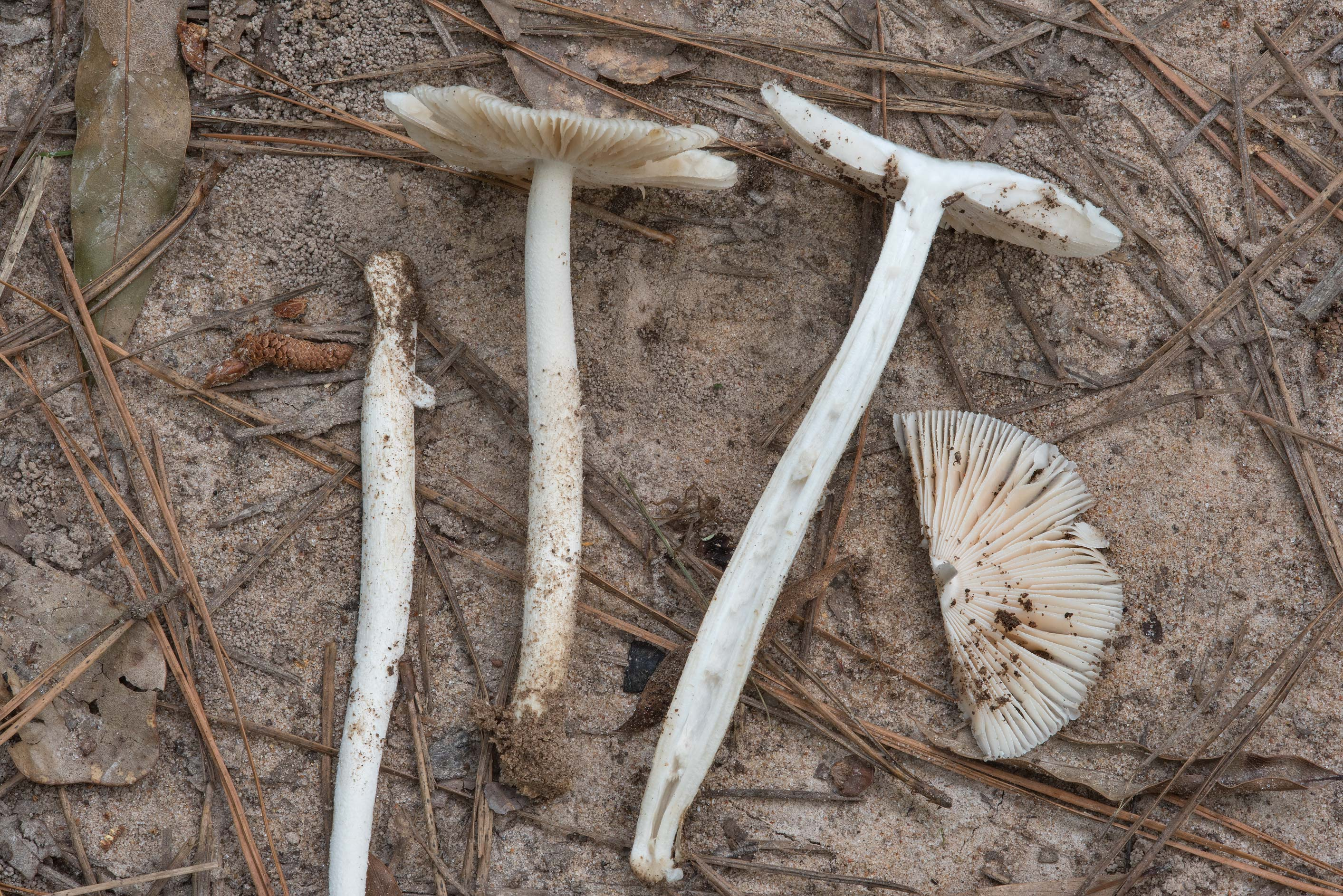Dissected grisette mushrooms (Amanita sect...Forest, near Huntsville. Texas