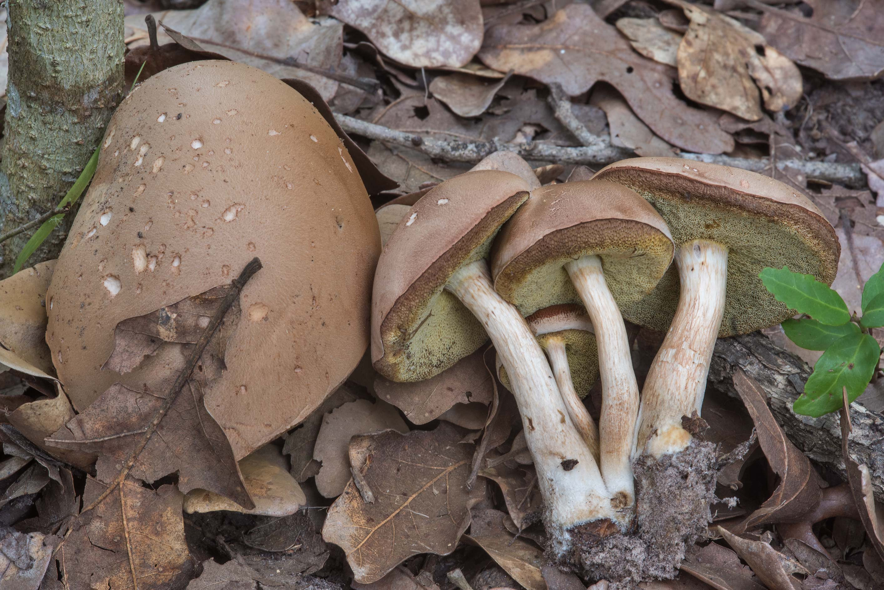 Group of some brown bolete mushrooms under oaks in Lick Creek Park. College Station, Texas