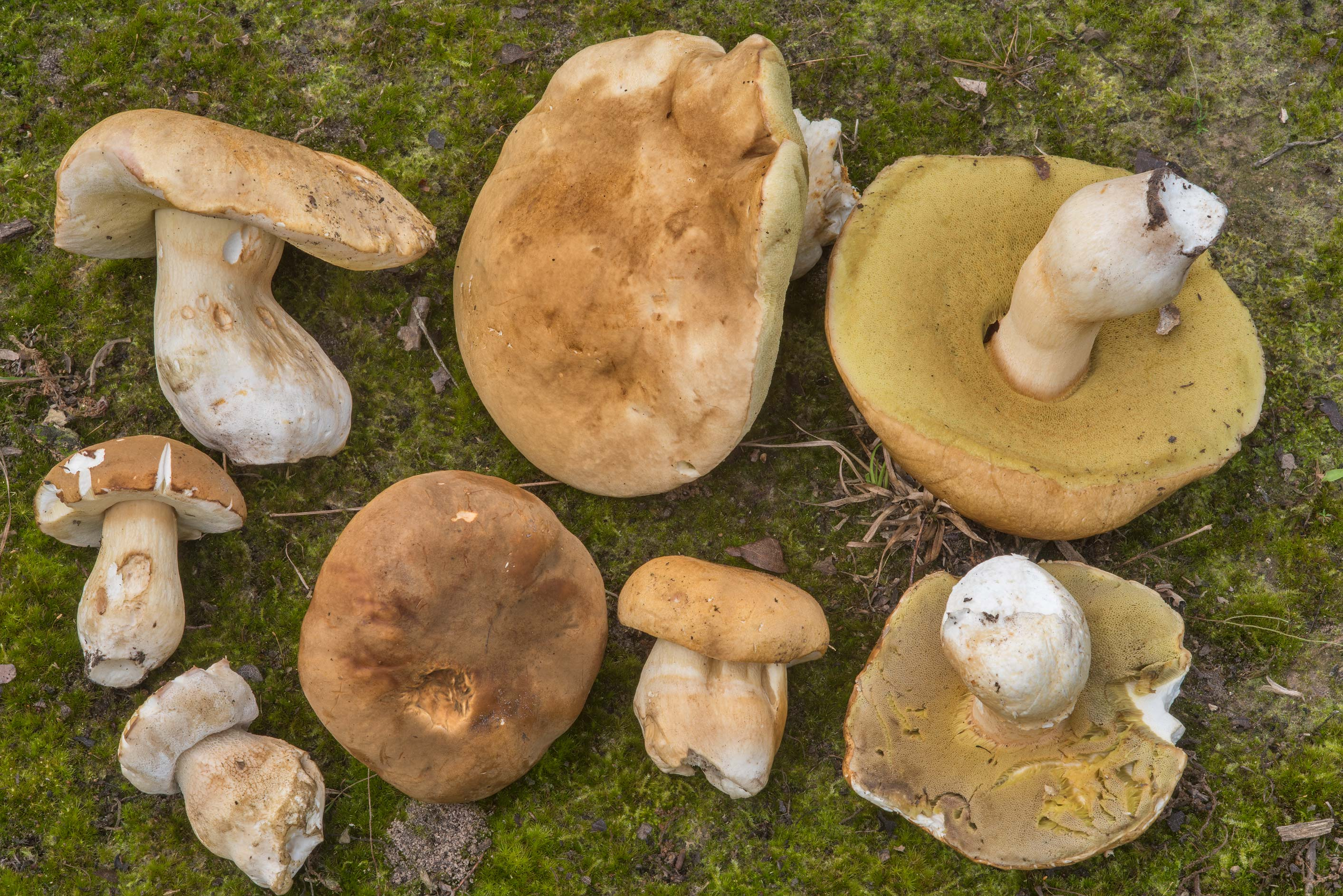 Large group porcini mushrooms (Boletus edulis...Creek Park. College Station, Texas