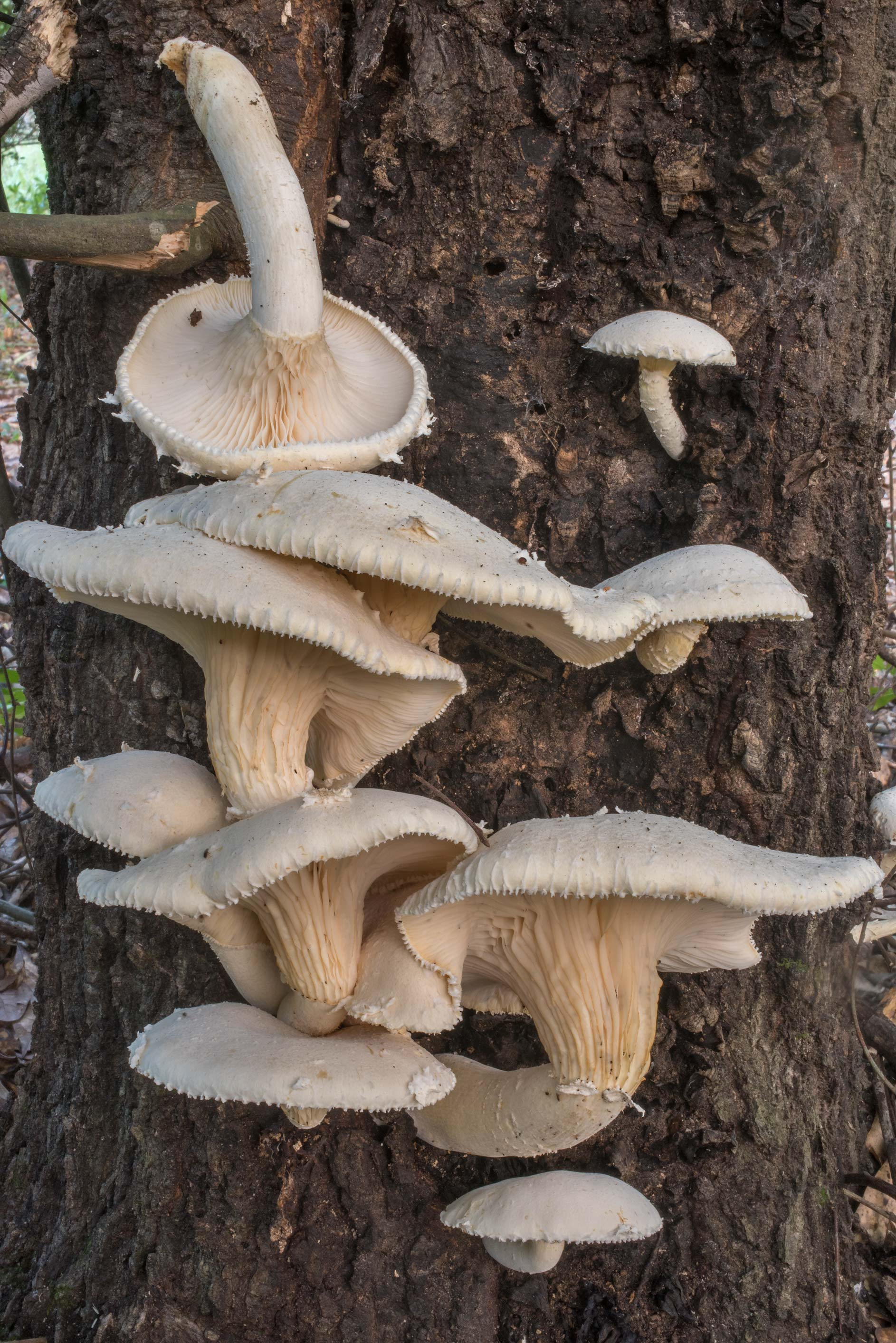 Group of giant Panus mushrooms (Lentinus levis...Creek Park. College Station, Texas
