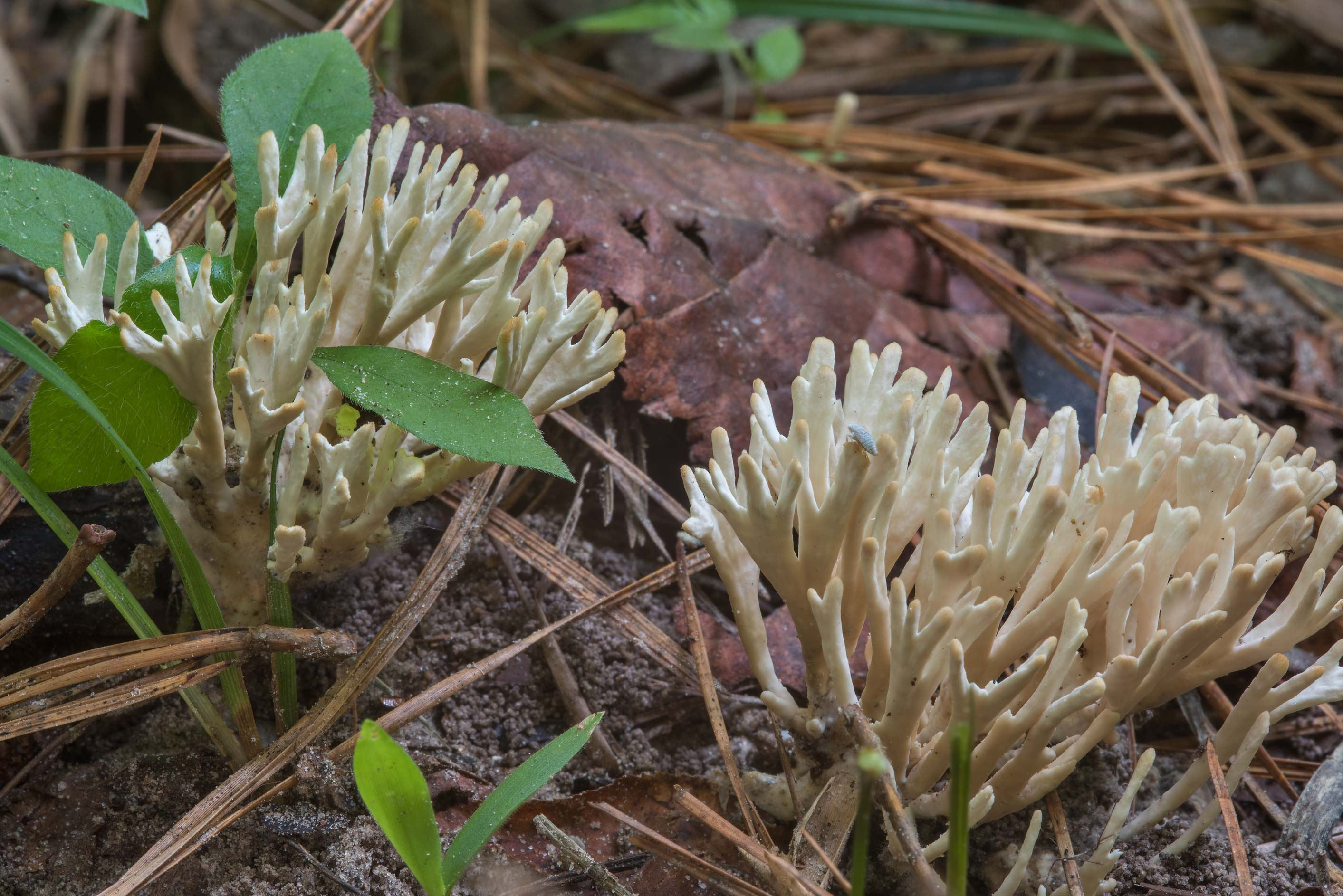 Group of coral like mushrooms Tremellodendropsis...Forest, near Huntsville. Texas
