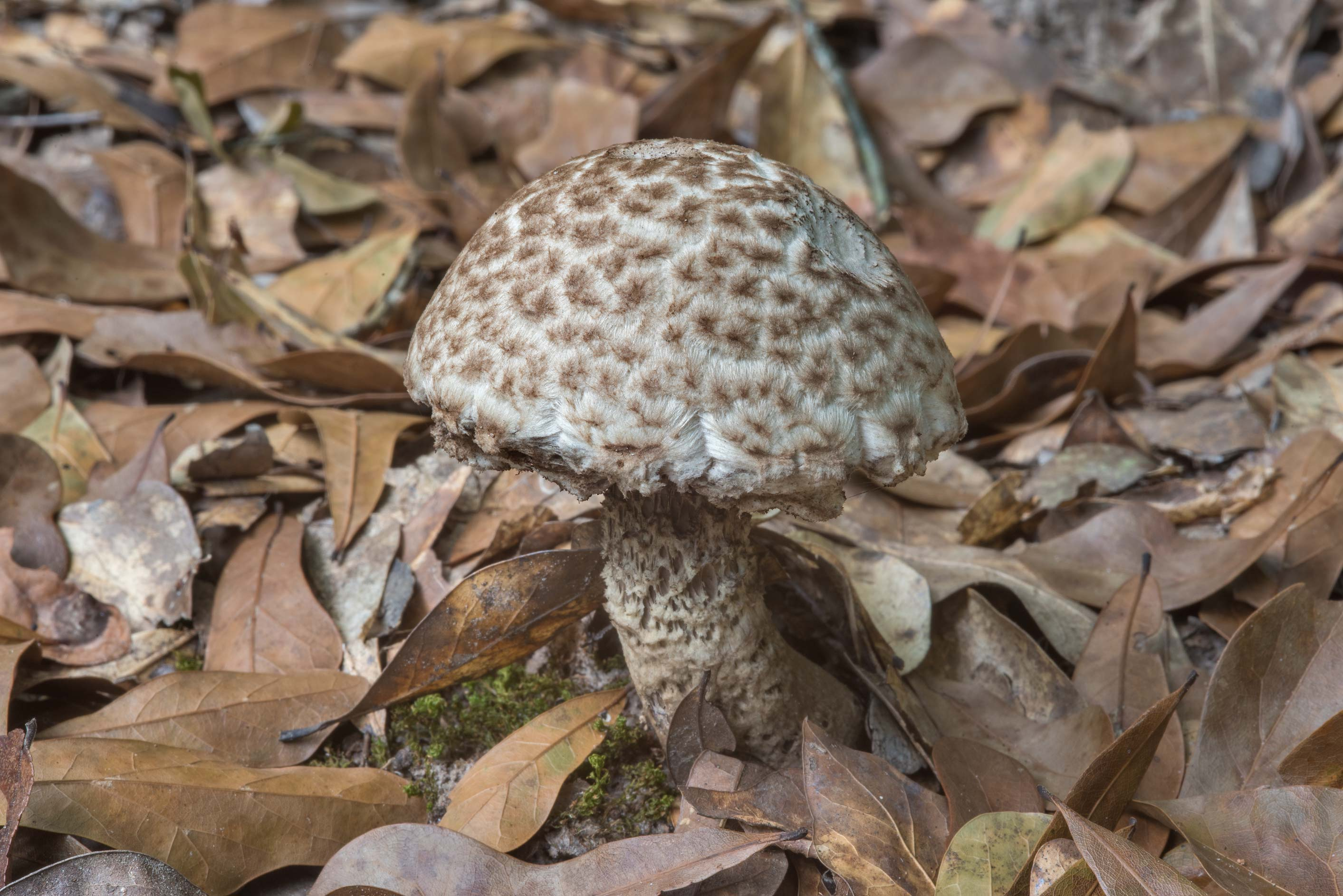 Bolete mushroom Strobilomyces dryophilus among...Creek Park. College Station, Texas