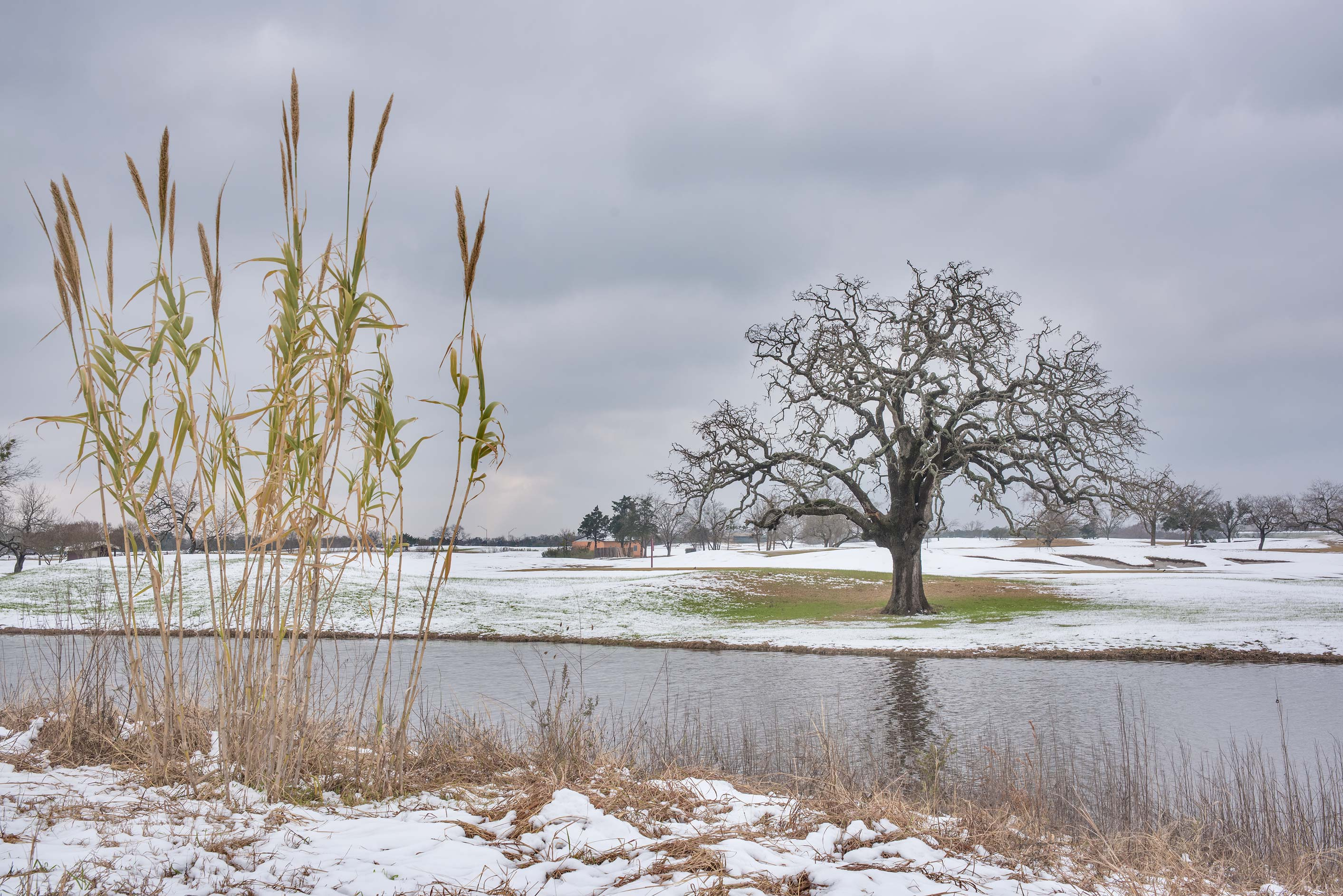 Oak and a pond in the university golf course with melting snow. College Station, Texas