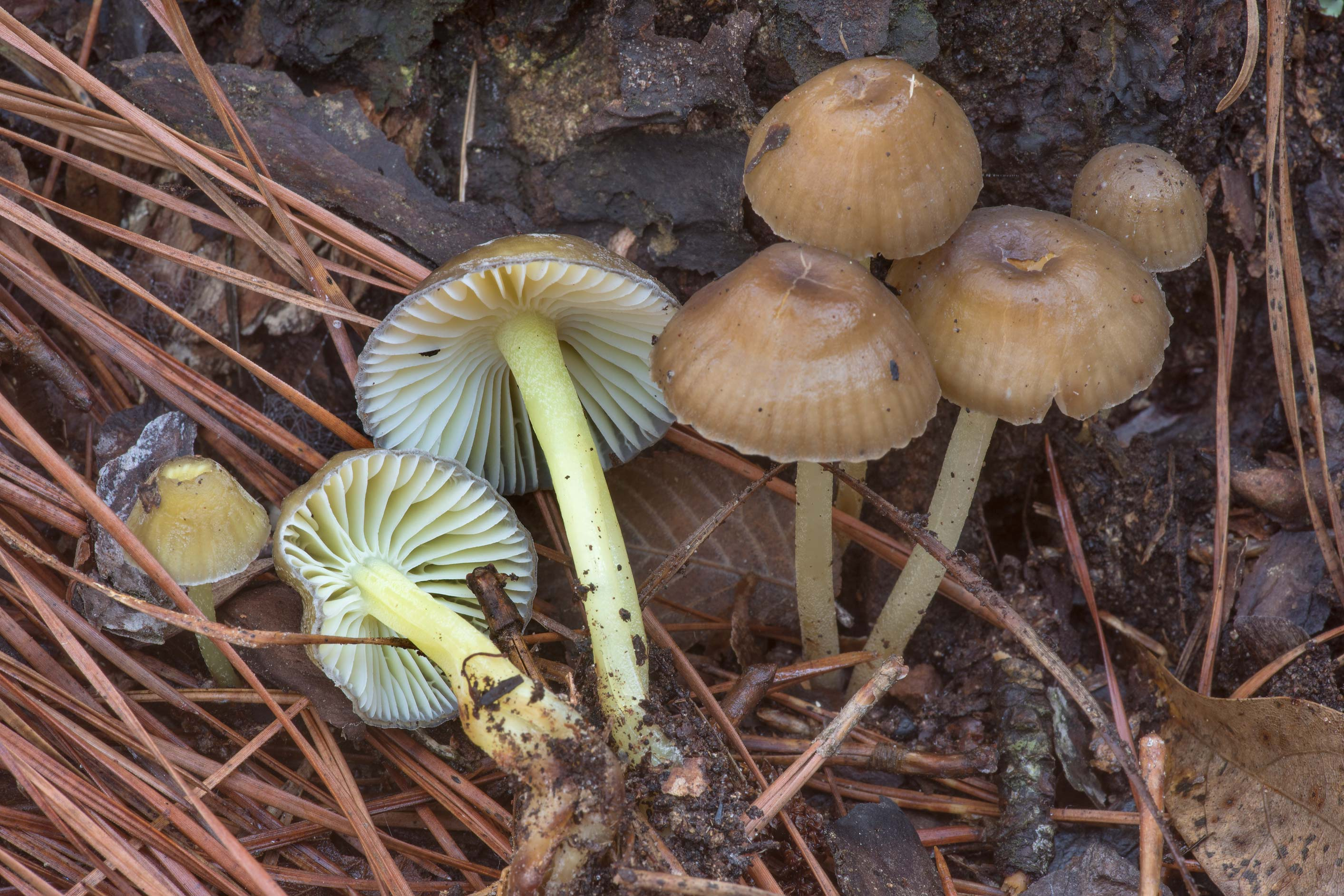 Side view of yellowleg bonnet mushrooms (Mycena...Forest north from Montgomery. Texas
